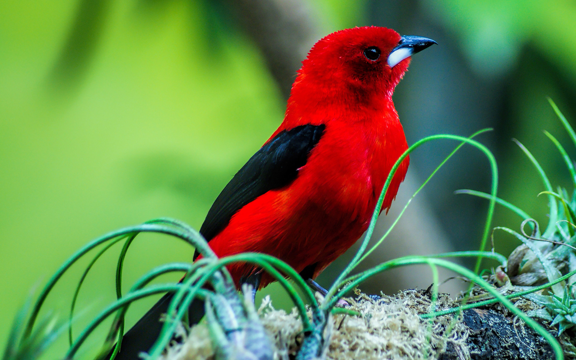 Red Bird Wallpaper 65 Images