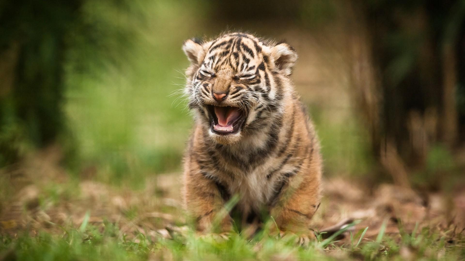 Saber Tooth Tiger Wallpaper (71+ images)