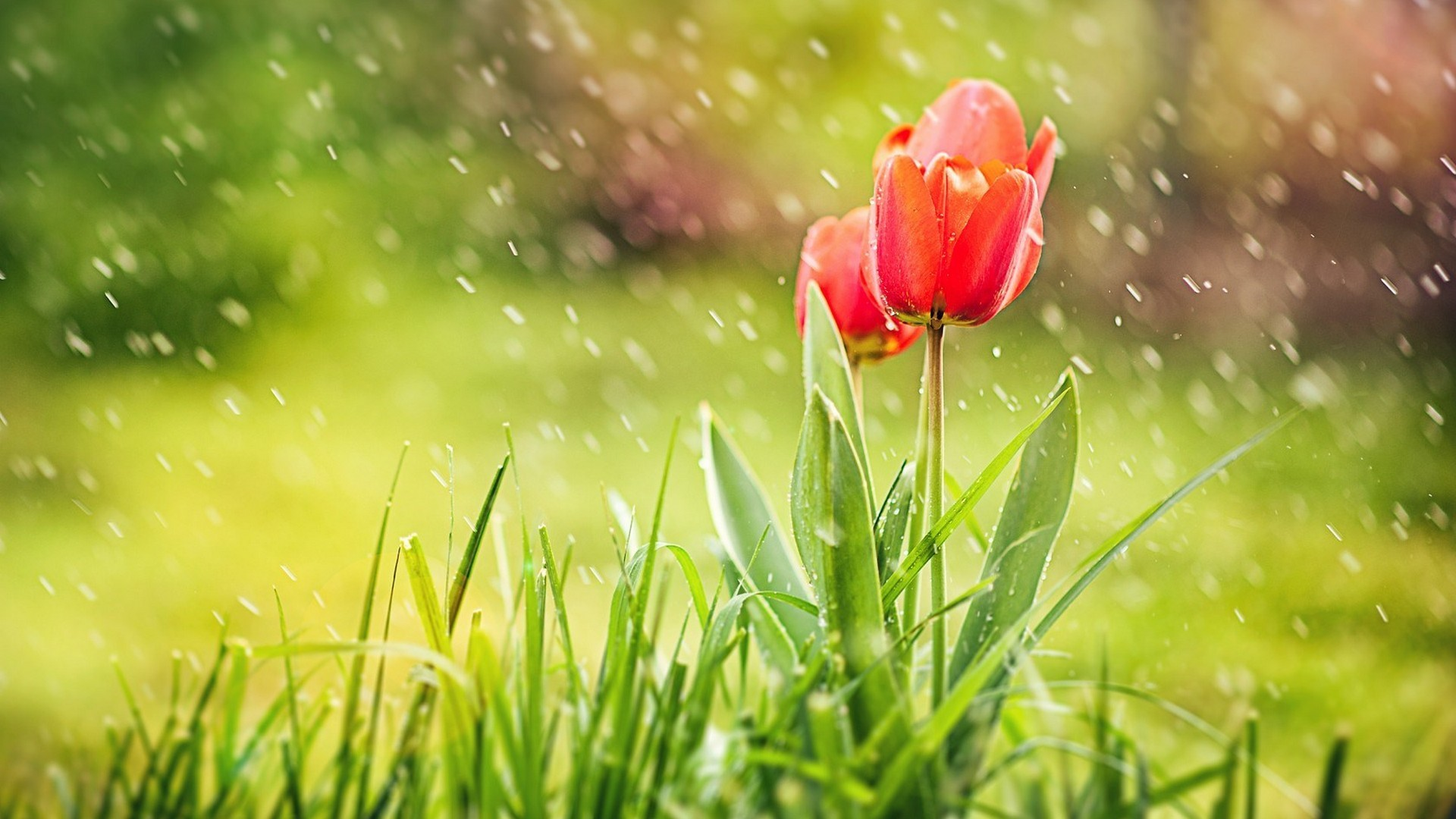 1920x1080 Tulips in Rain Hd Wallpaper