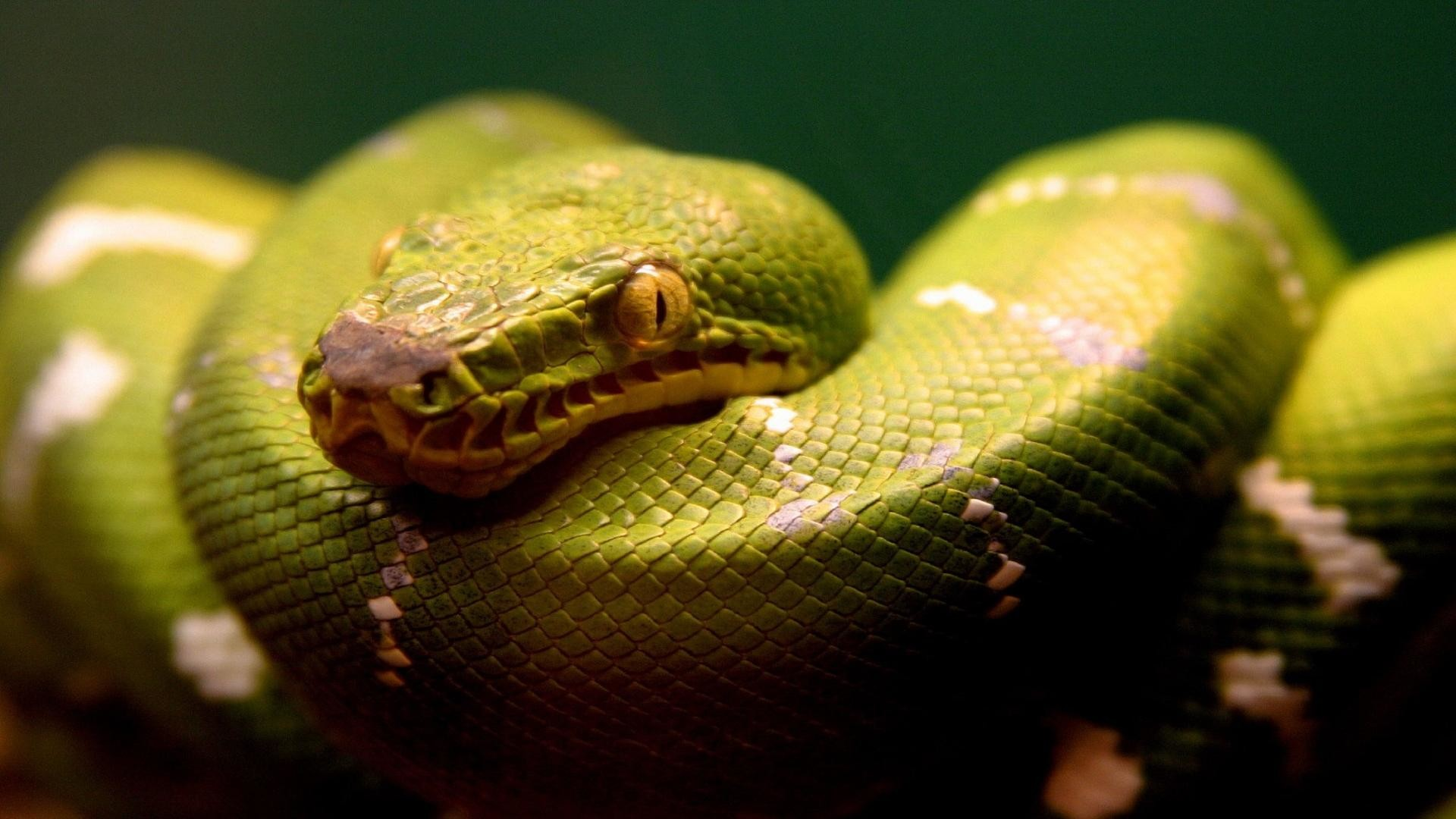Green anaconda snake eating