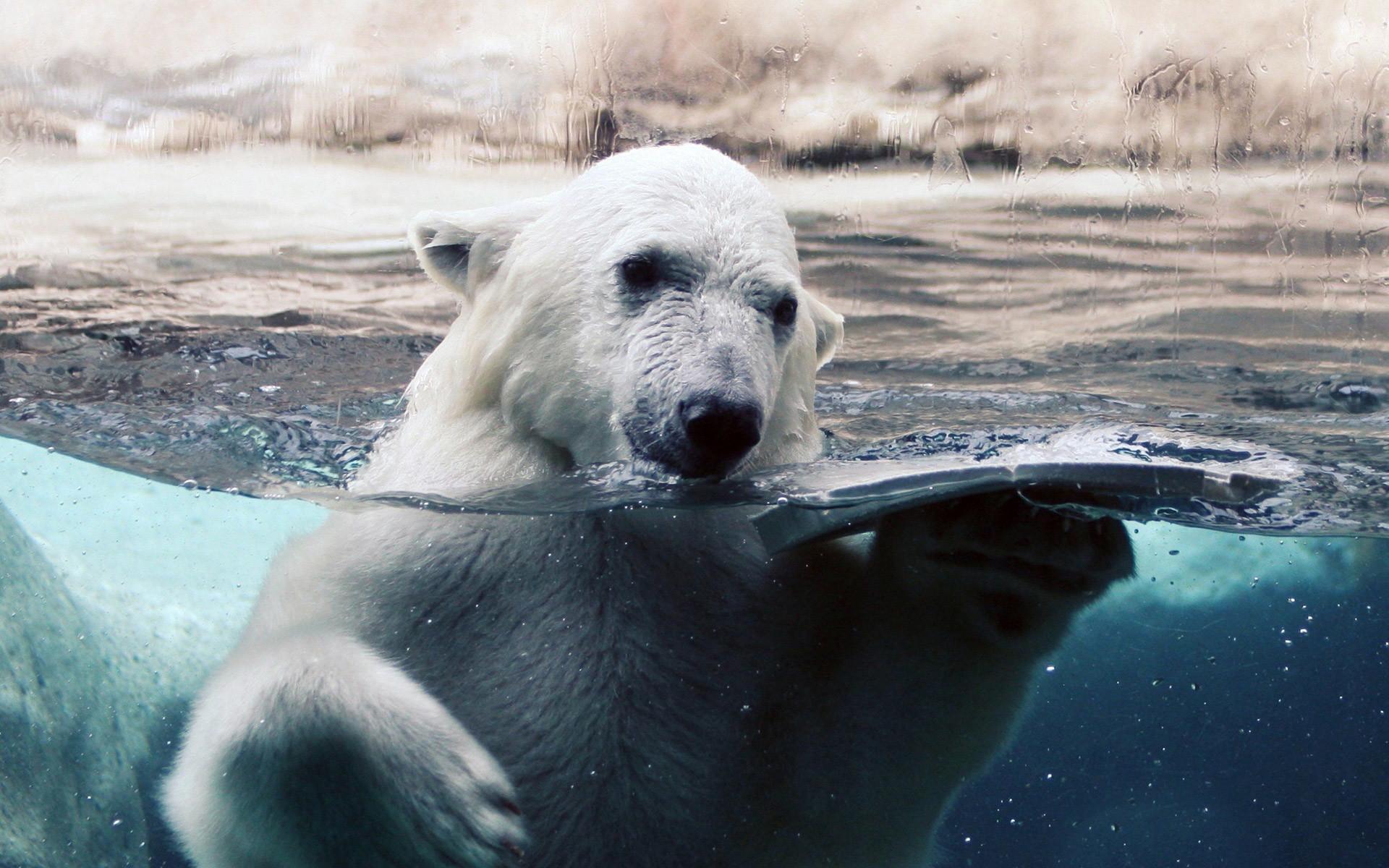 Polar Bear Wallpapers (64+ images)
