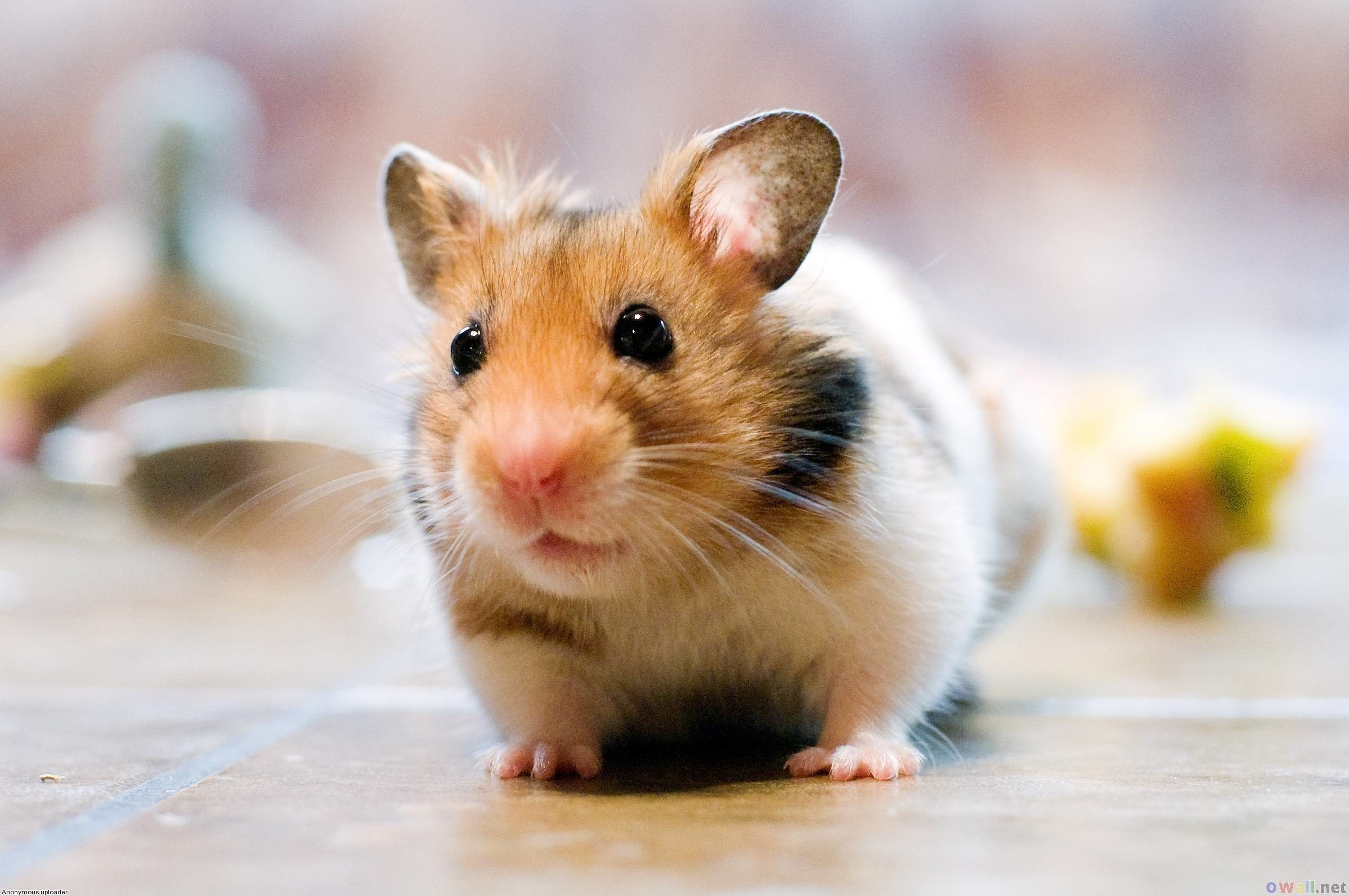2397x1593 Cute Hamster Wallpaper Desktop Best Hd Wallpapers Litle Pups 1024×768 Cute  Hamster Wallpapers (44 Wallpapers) | Adorable Wallpapers | Wallpapers |  Pinterest ...