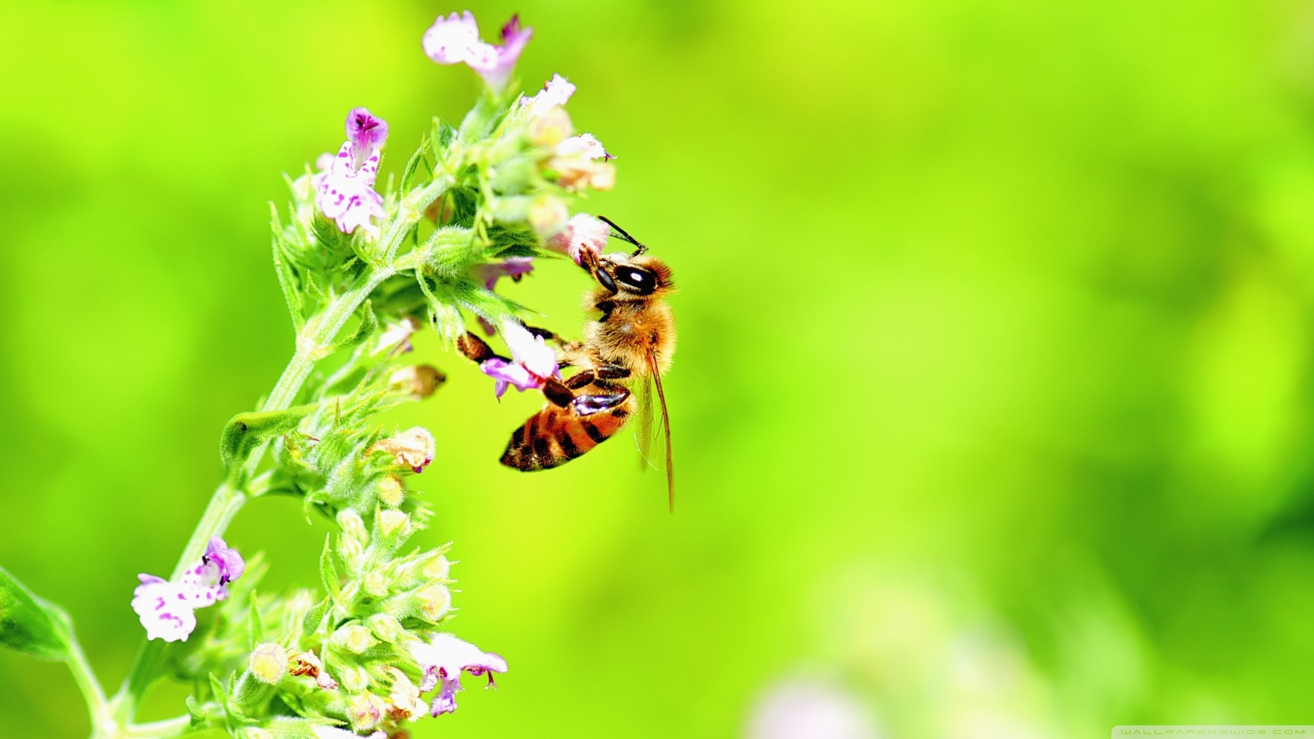 2560x1440 The Most Beautiful Honey Bee, Bright Green Background Wallpaper