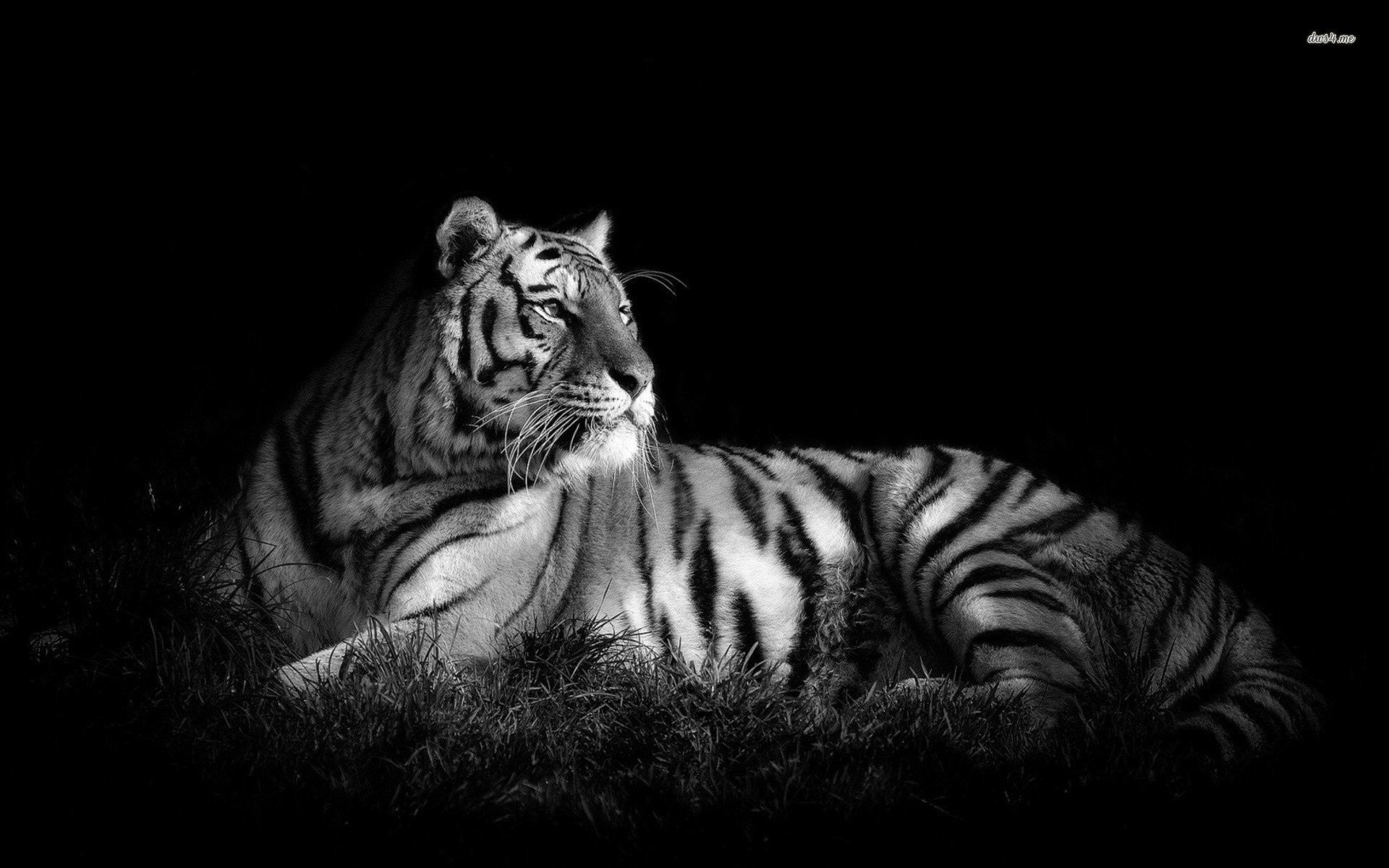 black and white tiger wallpaper (60+ images)