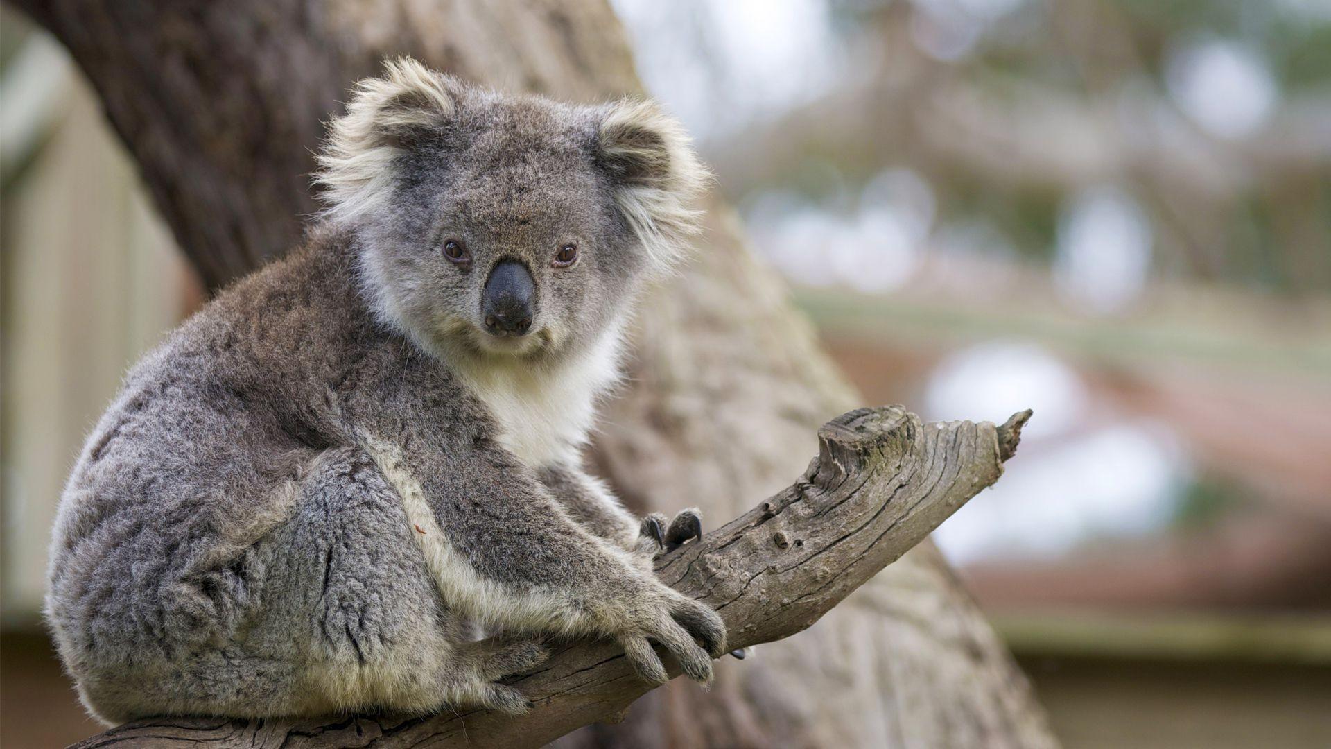 Baby koala wallpaper 57 images - Pictures of koalas and baby koalas ...
