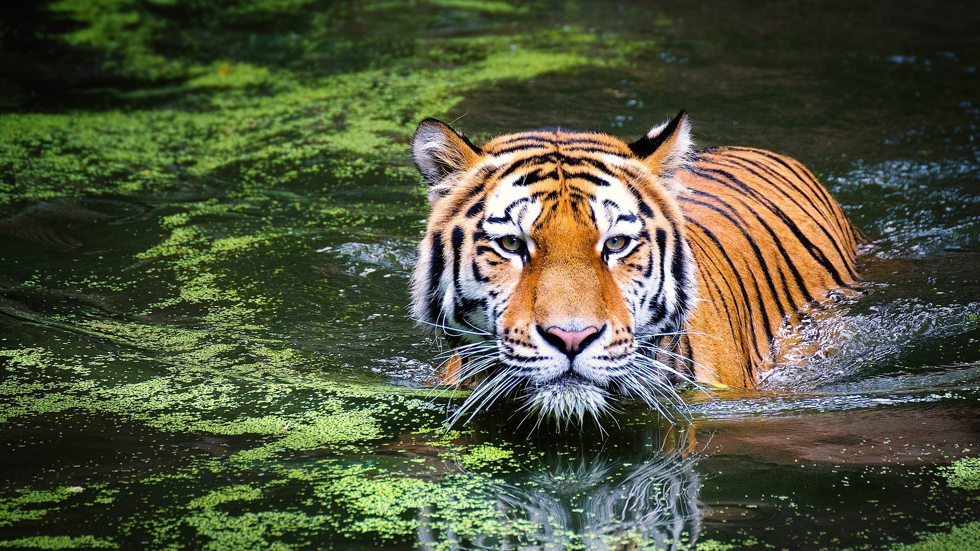 1920x1080 Tiger in Pond