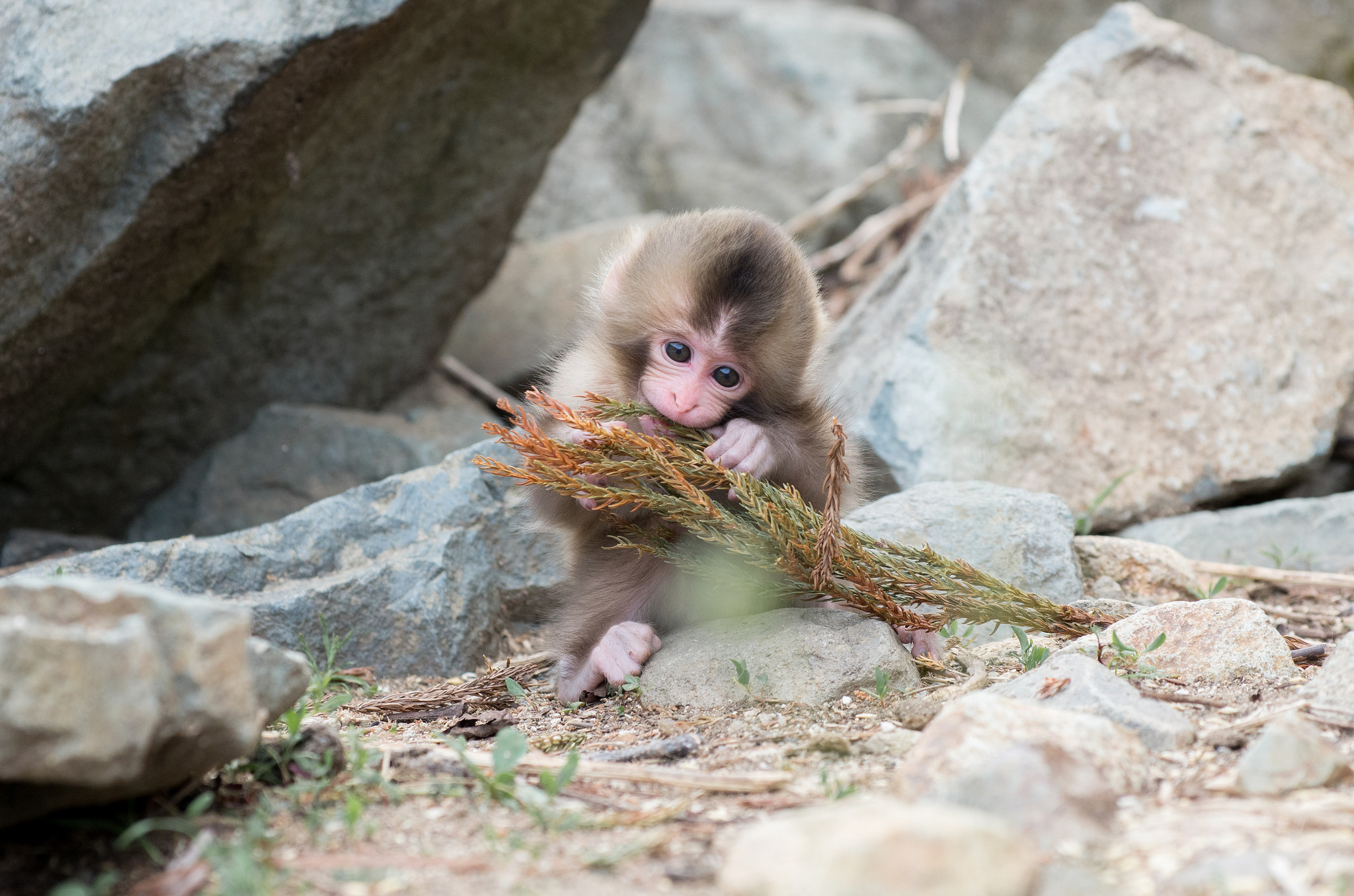 2048x1356 natural-snow-monkey-japanese-macaque-facts-of-endangered-