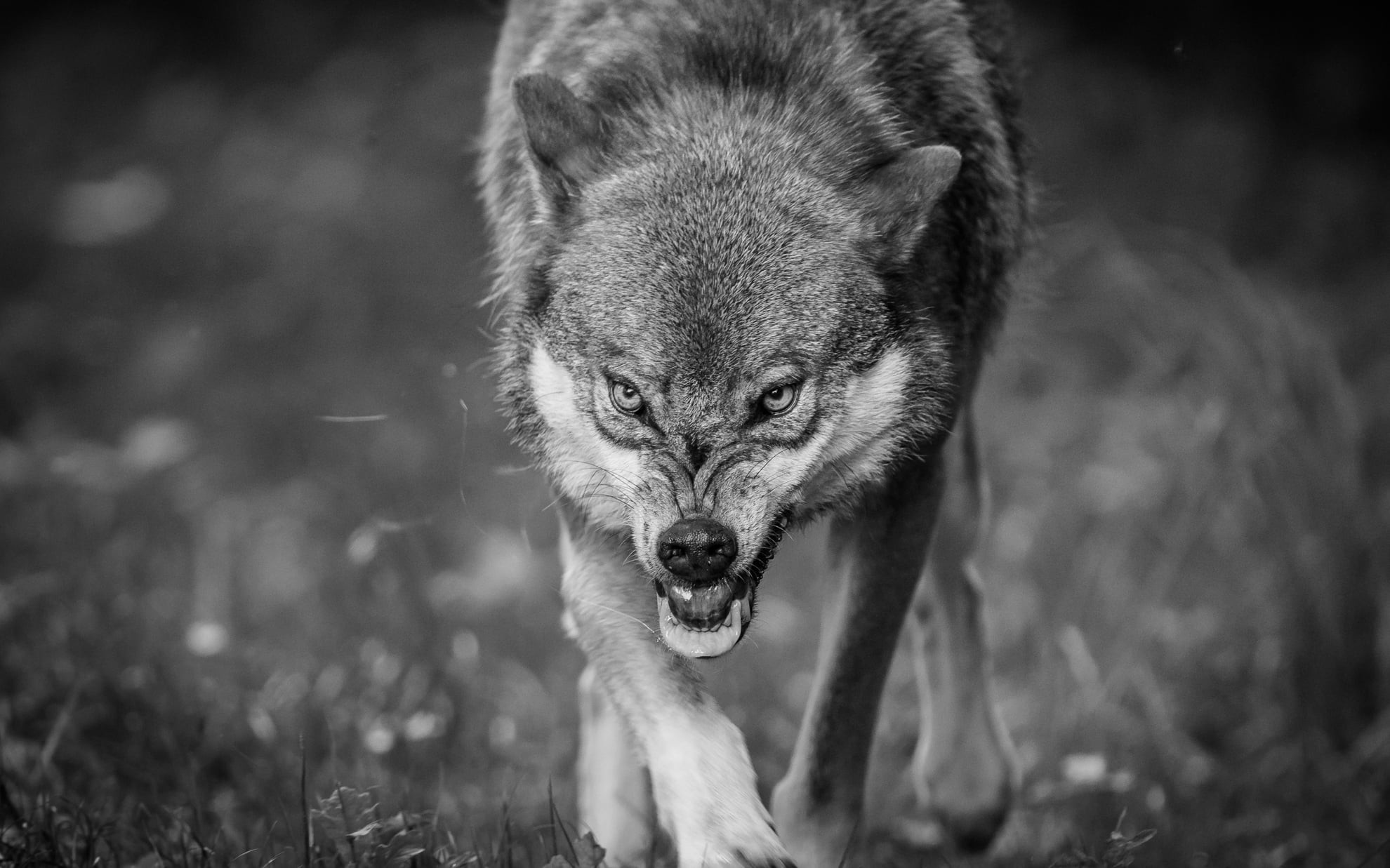 1980x1237 grayscale photography of wolf