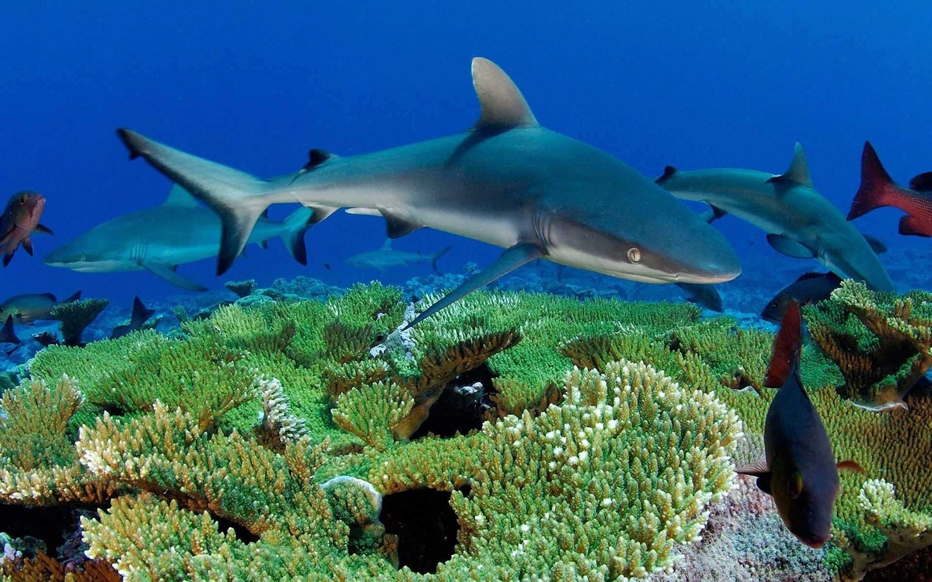1920x1200 Gray reef sharks and red snappers hover above a patch of table coral at  Kingman Reef, Pacific Ocean, waiting for prey fish to emerge.