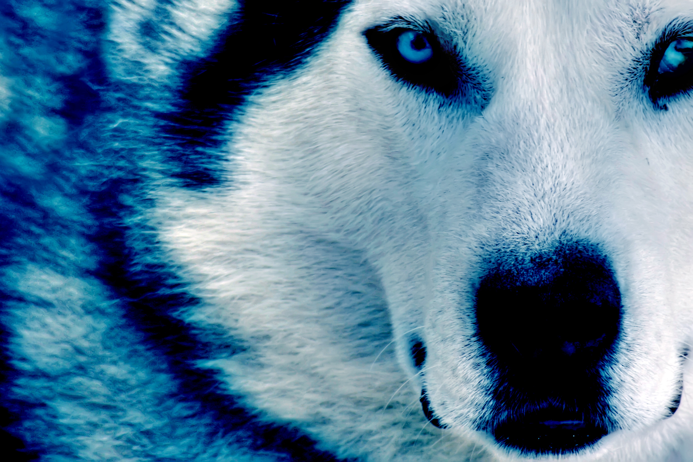 2816x1880 Winter Wolf HD dekstop wallpapers - Winter Wolf