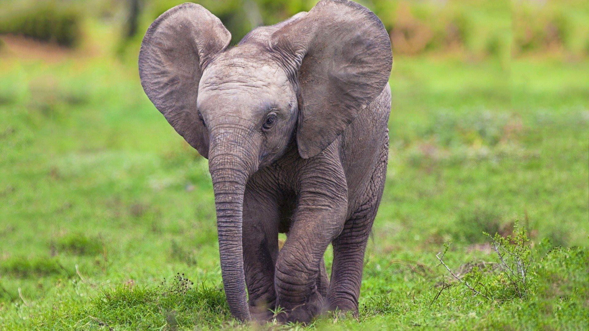 1920x1080 baby elephant hd wallpaper