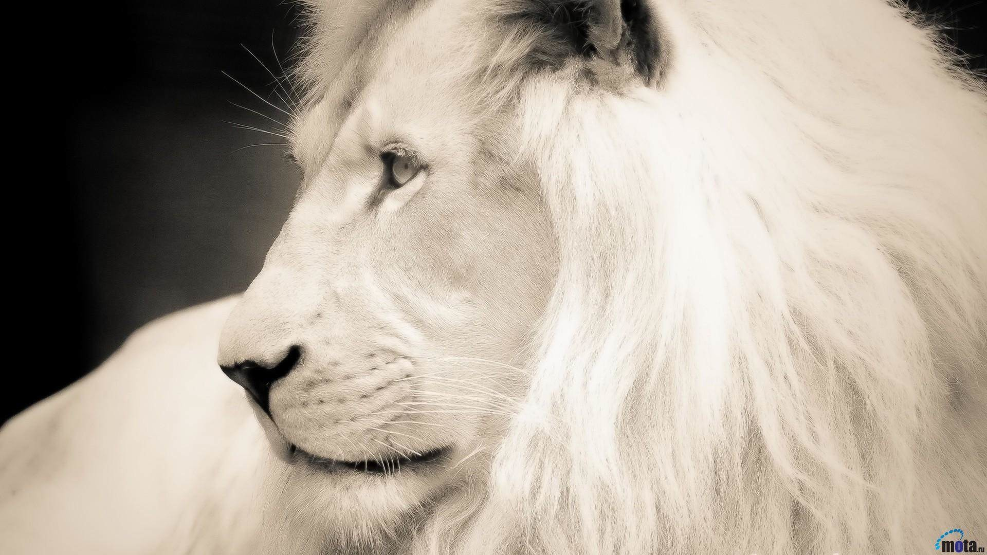 1920x1080 White Lion HD Wallpapers Backgrounds Wallpaper 1920×1080 White Lion Images  | Adorable Wallpapers