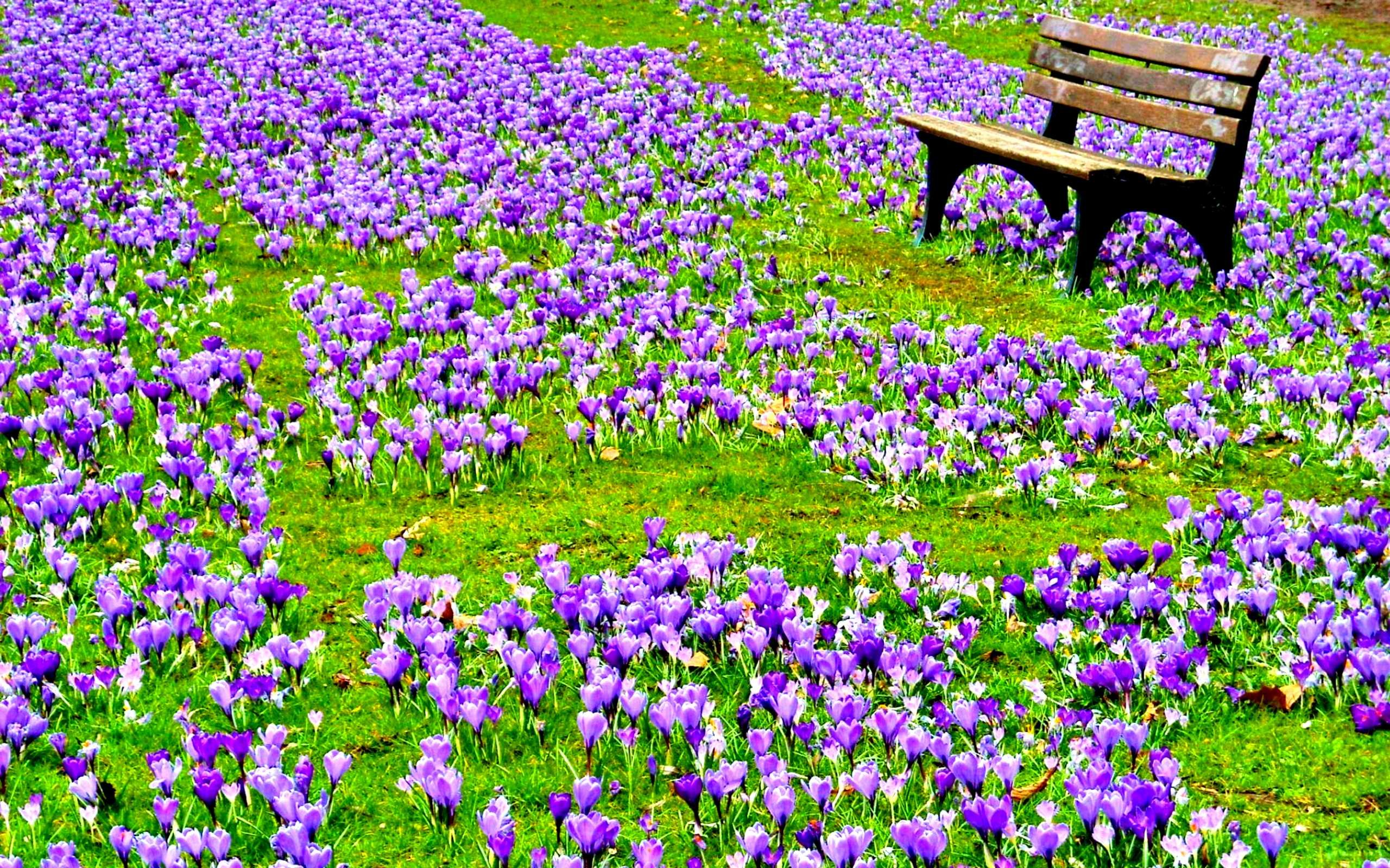 2560x1600 purple spring flowers wallpaper hd desktop wallpapers high definition  monitor download free amazing background photos artwork 2560×1600 Wallpaper  HD