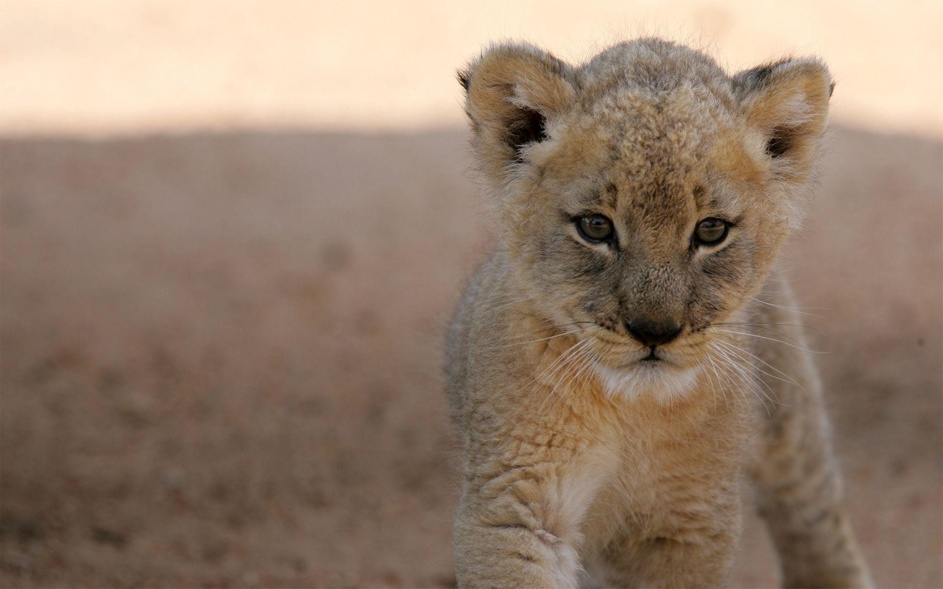 1920x1200 Lion Cub Wallpapers