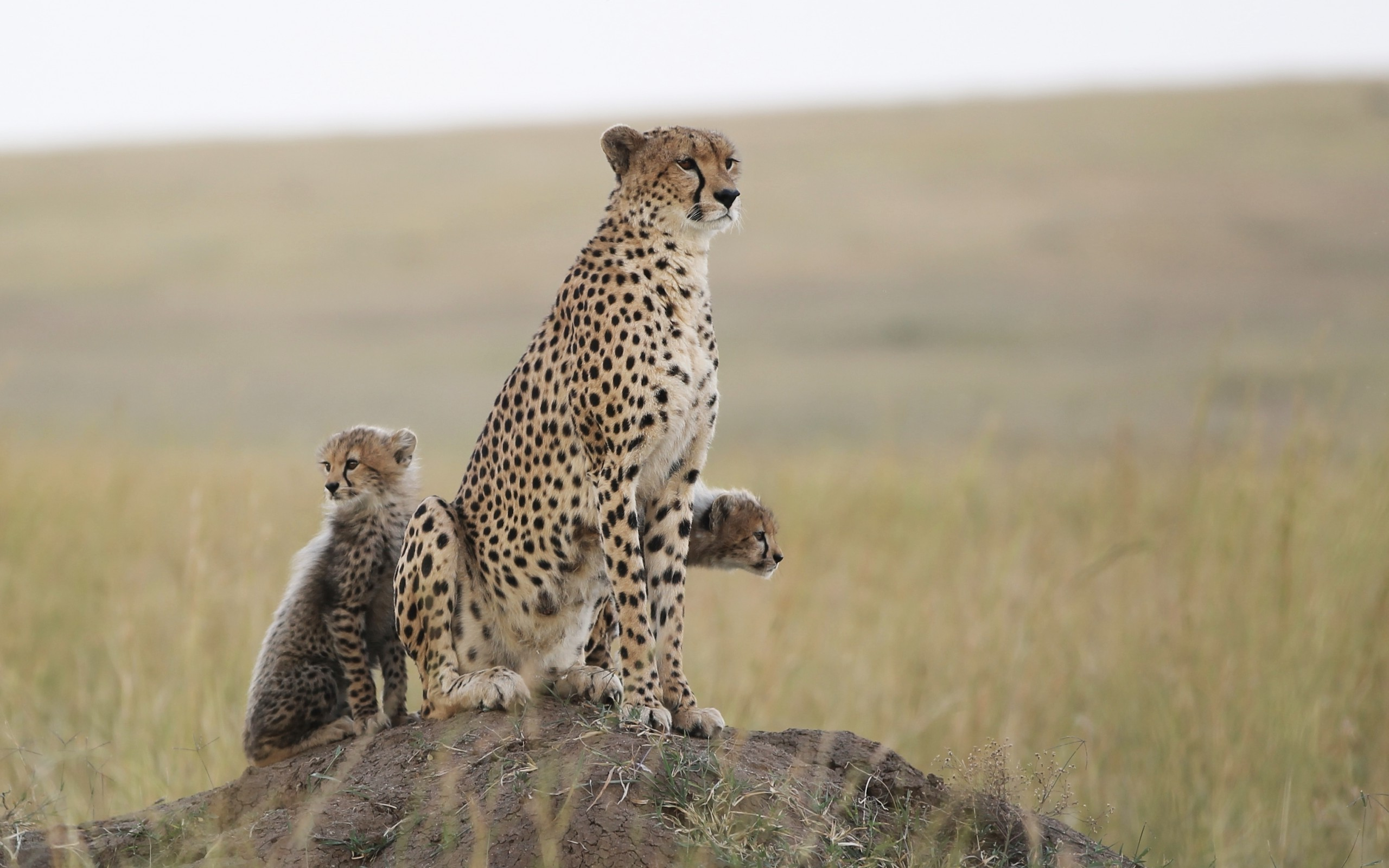 Biggest Collection Of Hd Baby Wallpaper For Desktop And Mobile: Baby Cheetah Wallpaper (66+ Images