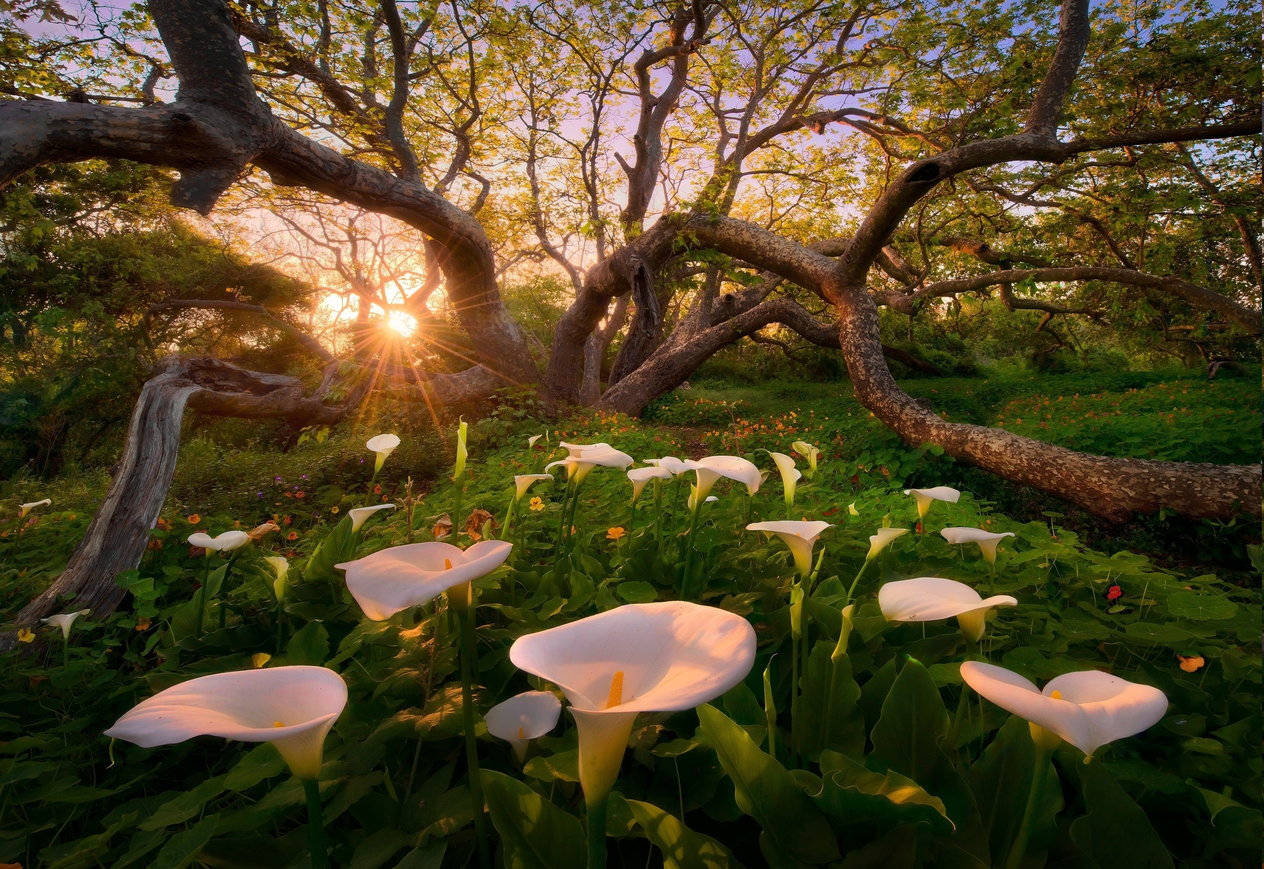 2500x1719 calla Lilies, Flowers, Trees, Sunset, Grass, Nature, Landscape, Spring  Wallpapers HD / Desktop and Mobile Backgrounds