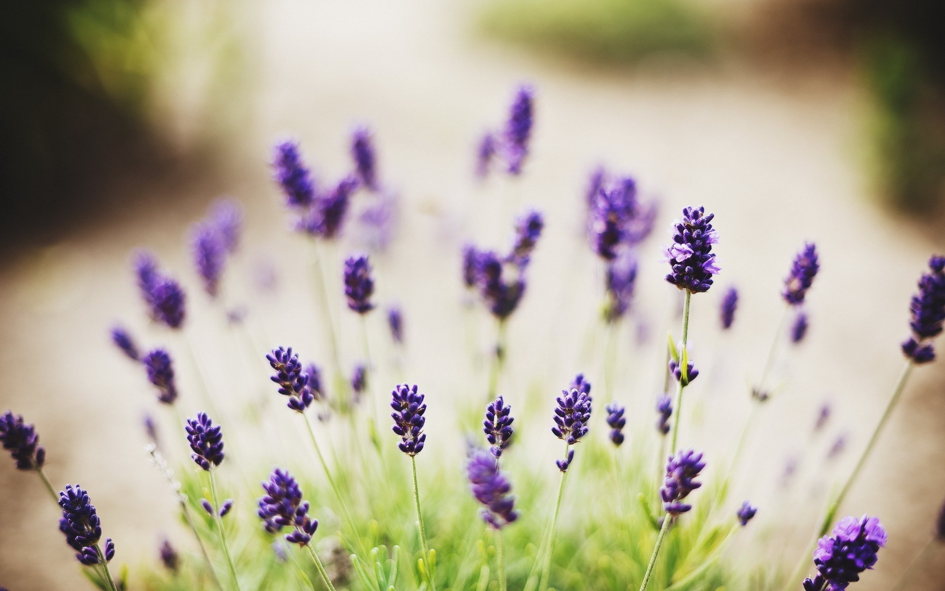 1920x1200 Lavender Flower Desktop Wallpapers.