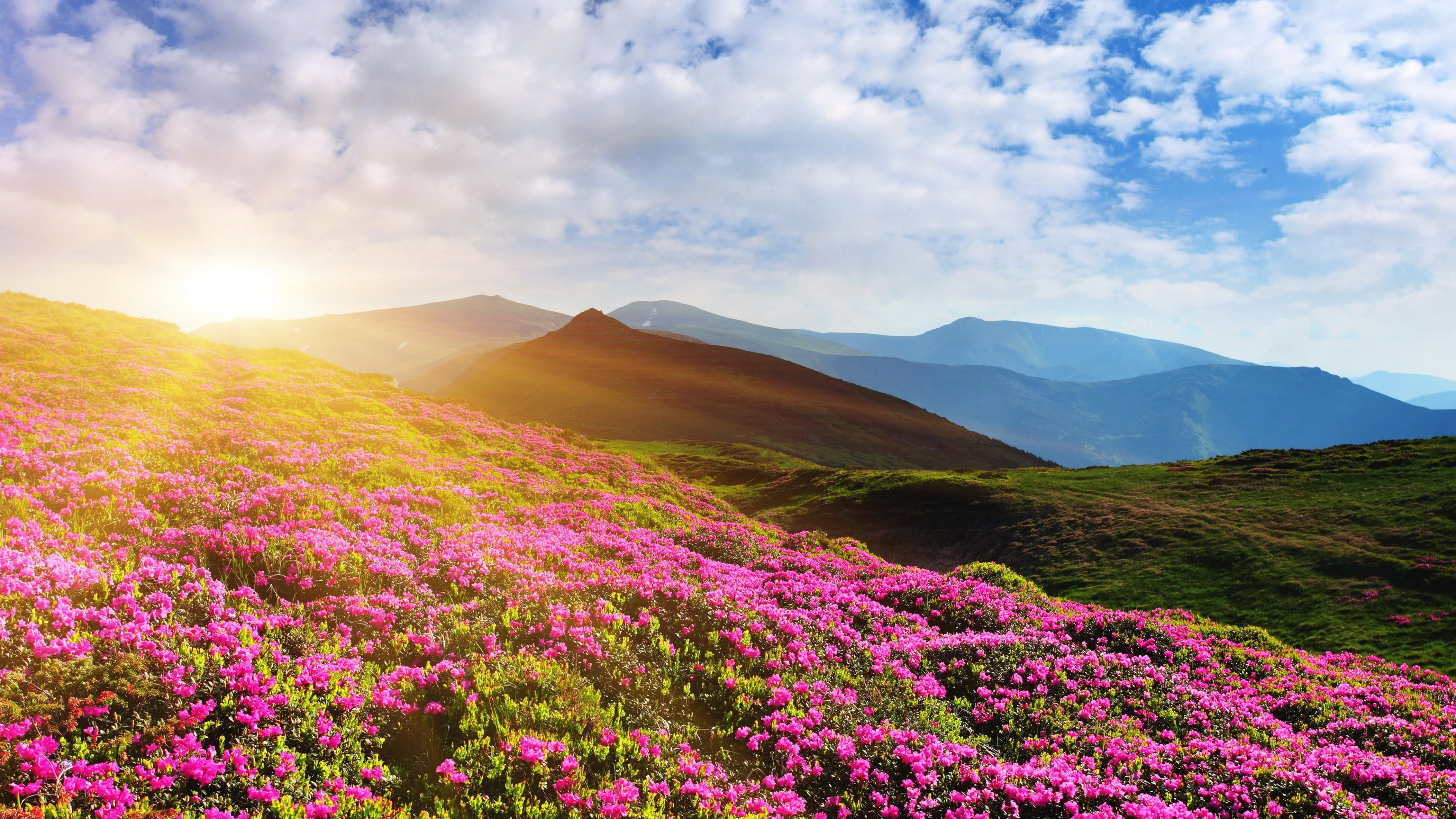 3840x2160 #Summer, #Rhododendron flowers, #Mountain, #4K, #Pink
