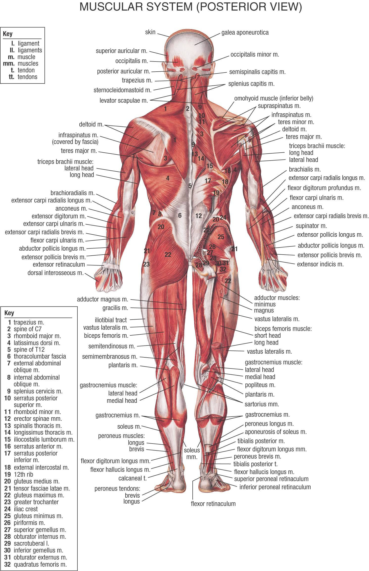 Body Organ Diagram 1080 - Smart Wiring Diagrams •
