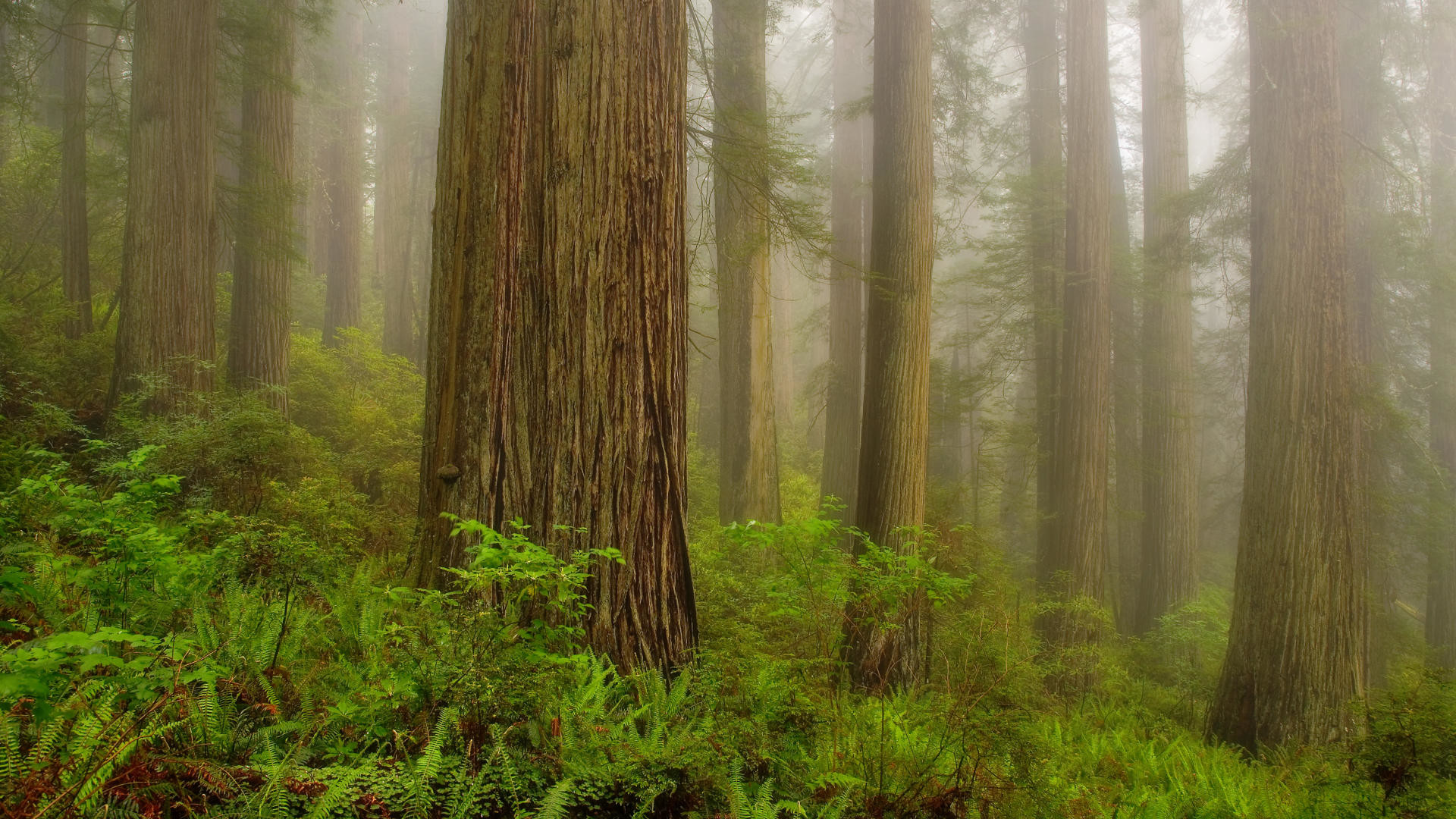 1920x1080 Download Background - Misty Morning, Redwoods National Park, California -  Free Cool Backgrounds and Wallpapers for your Desktop Or Laptop.