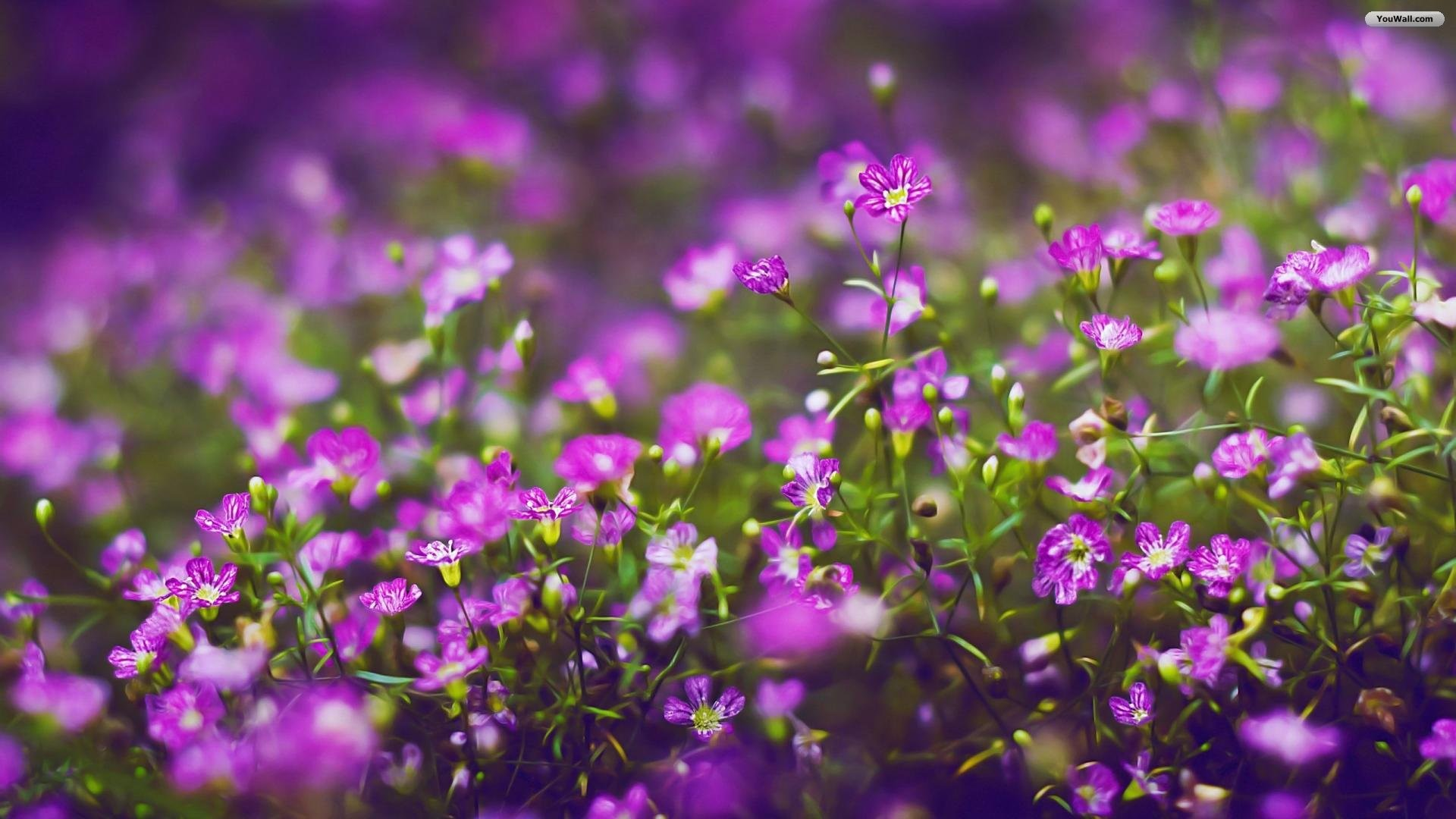 1920x1080 of 18 Beautiful Lavender Purple Flowers HD Wallpaper For Desktop