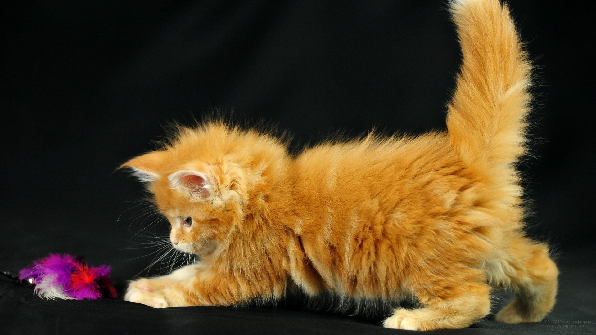 1920x1080 Pictures lolcat Funny Cat desktop wallpaper picture 1920 x 1080 Orinoco,  Maine Coon kitten