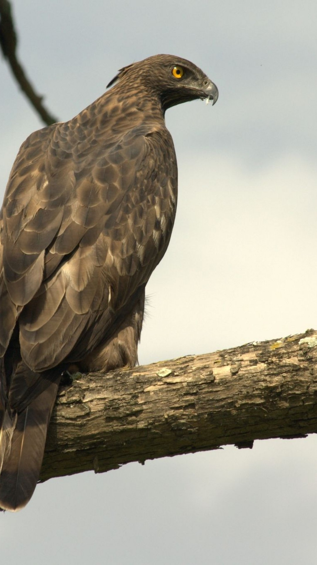 Hd hawk wallpaper 65 images - Hawk iphone wallpaper ...