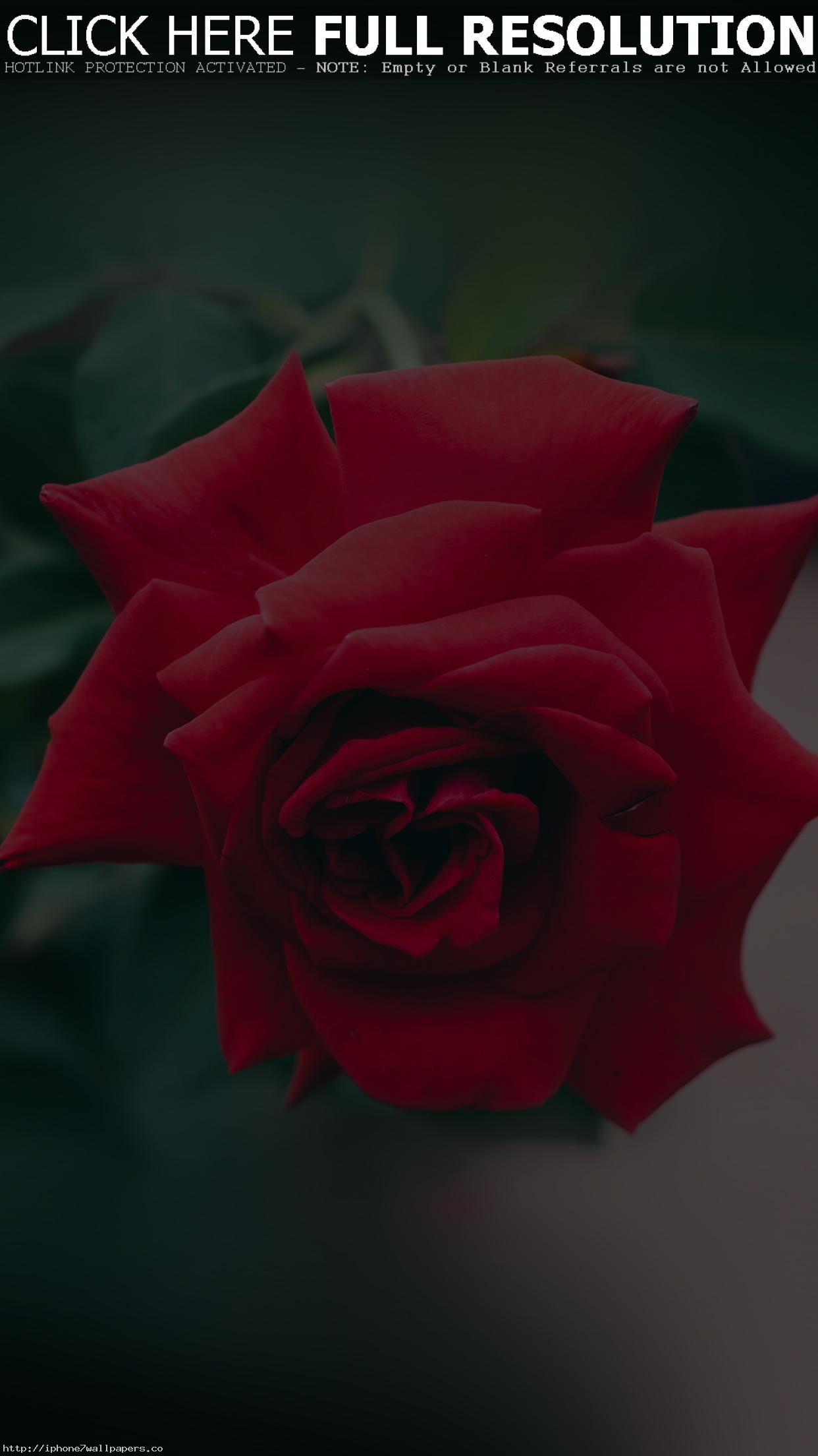 flower wallpaper red rose (63+ images)