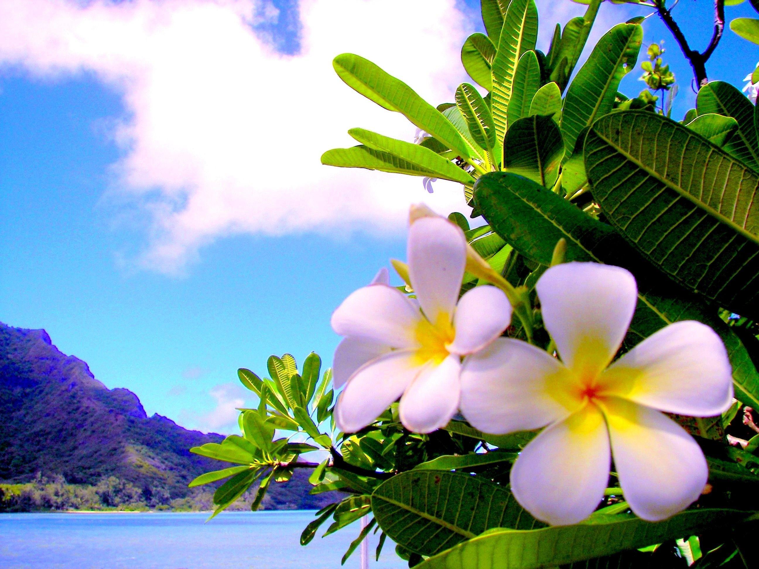 Hawaiian Flowers Wallpaper 47 Images
