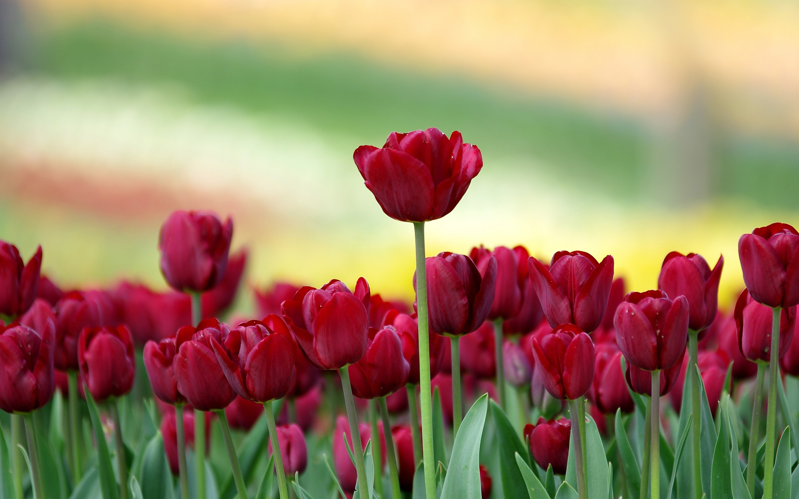 2560x1600 Red Tulip Flowers Hd Wallpapers Backgrounds