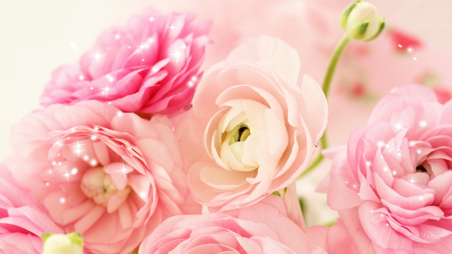 pink peony wallpapers (57+ images)