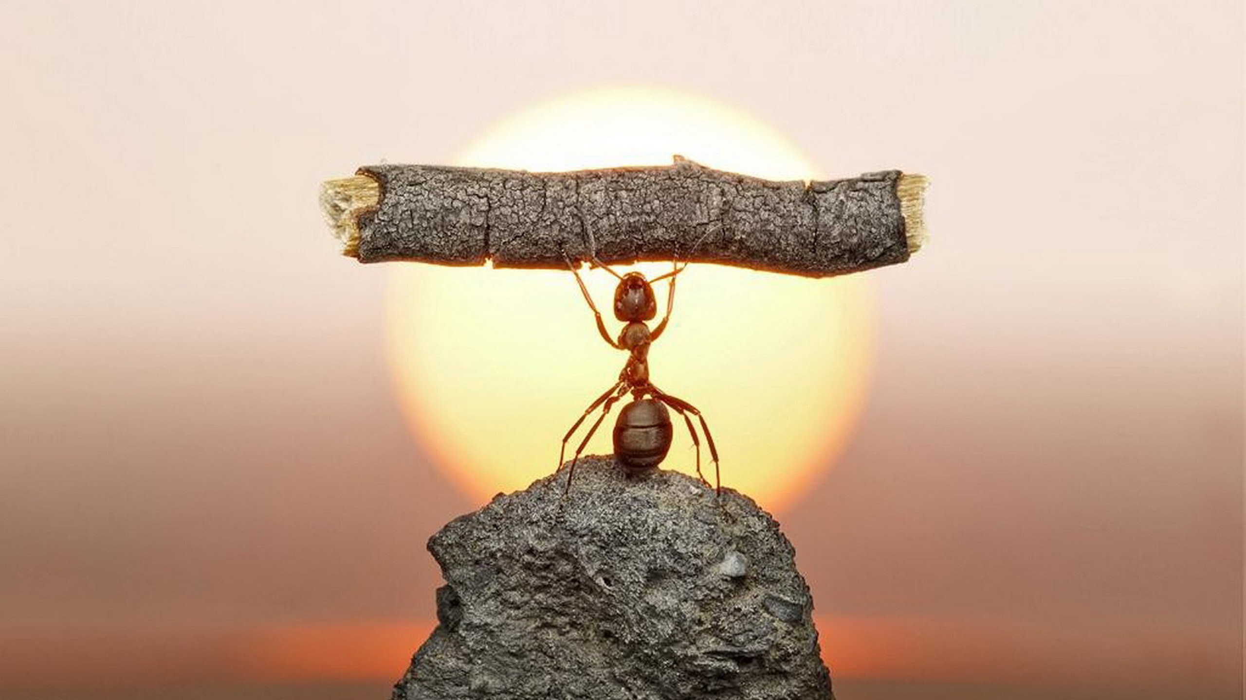 2560x1440 ... weight lifting ant wallpaper animals hd wallpapers ...