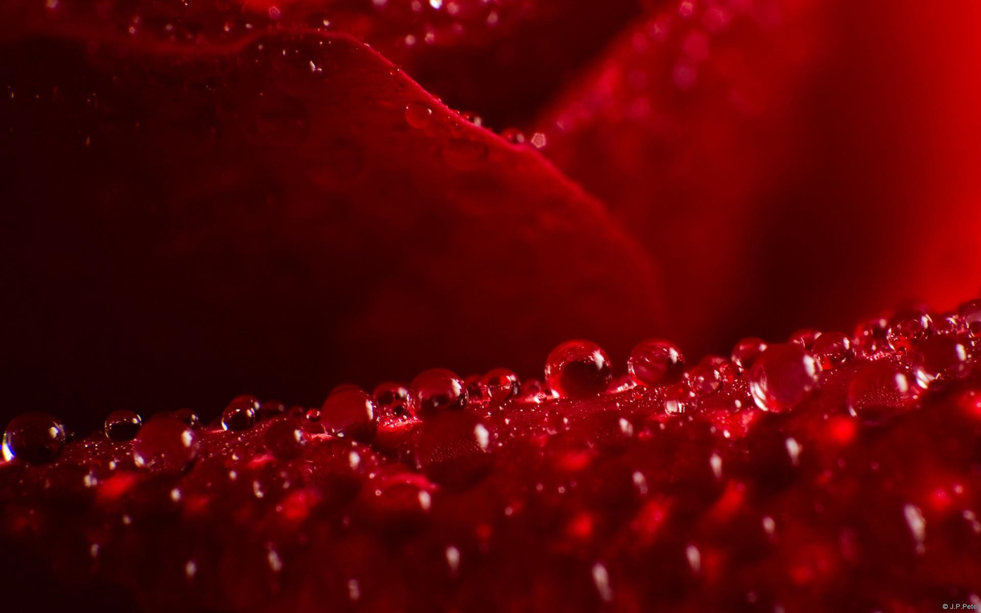1920x1200 red rose live wallpaper free download #1084128