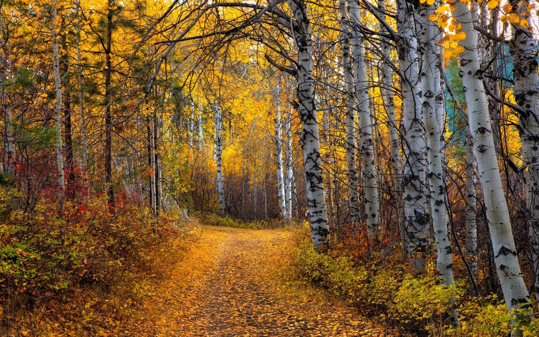 2200x1375 nature, Landscape, Aspen, Trees, Leaves, Yellow, Path, Shrubs, Forest, Dirt  Road Wallpapers HD / Desktop and Mobile Backgrounds