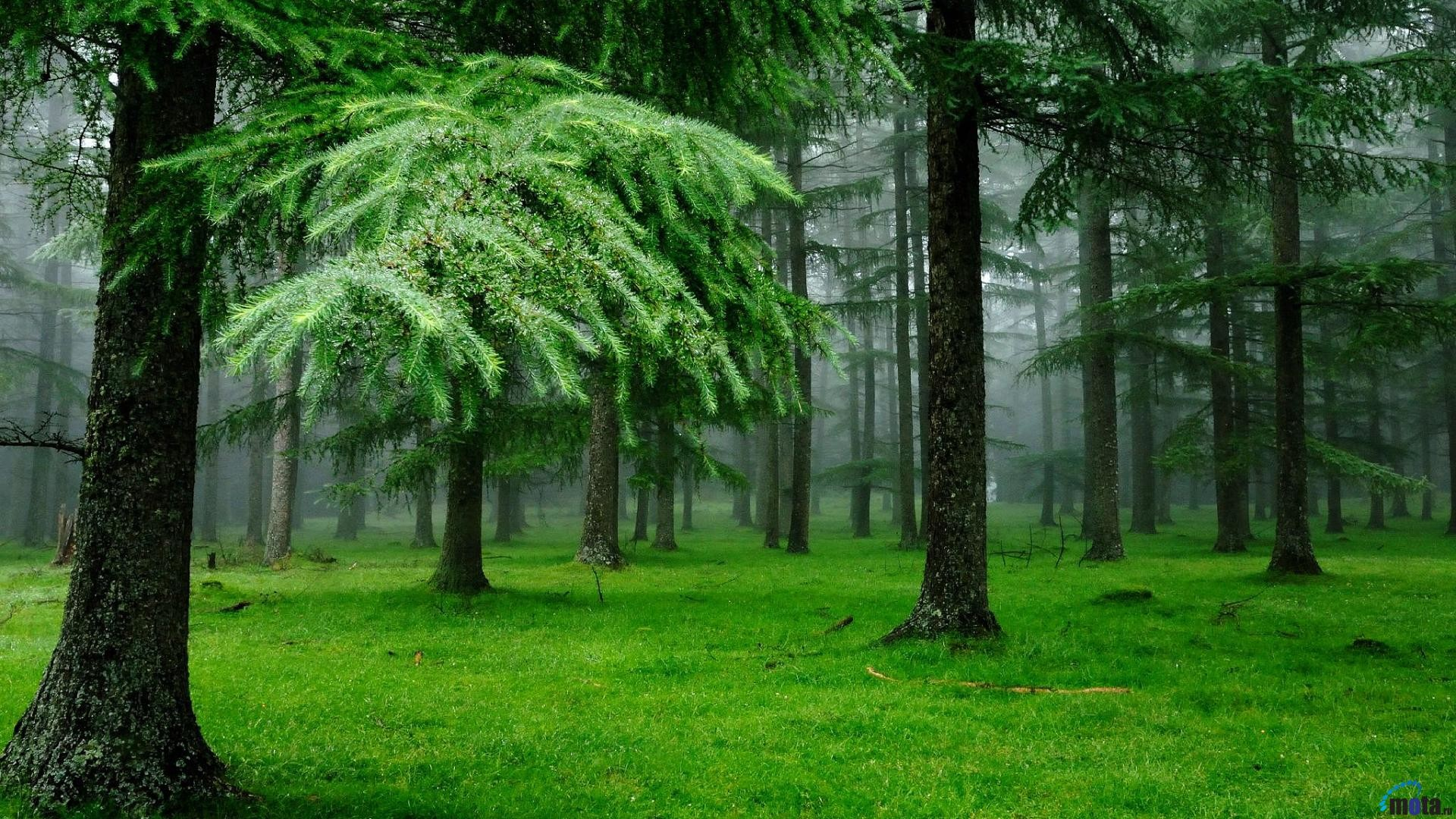 1920x1080 Wallpaper Spruce forest after the rain (1920 x 1080 HDTV 1080p .
