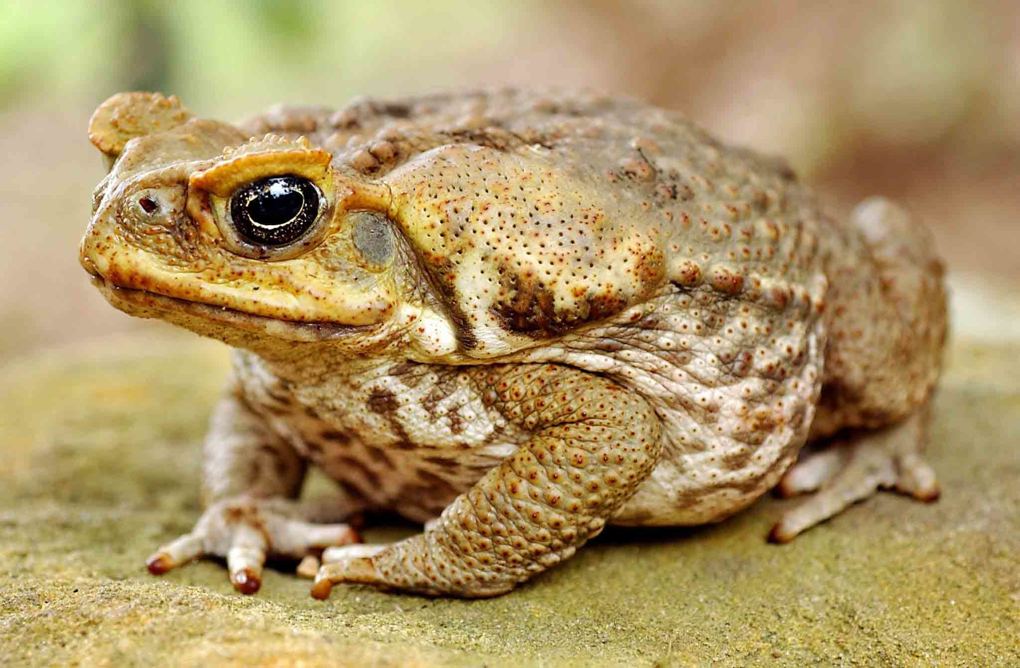 2048x1343 ... Cane toad animals wallpapers ...