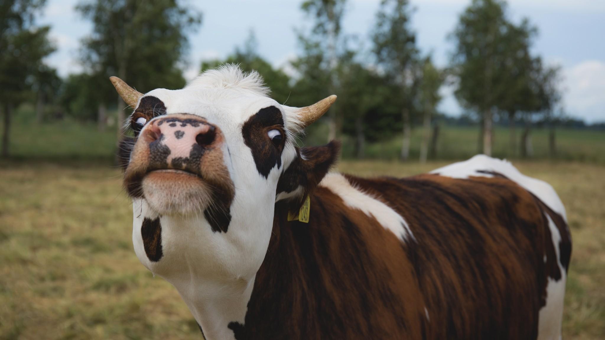 Cow Images Stock Photos amp Vectors  Shutterstock