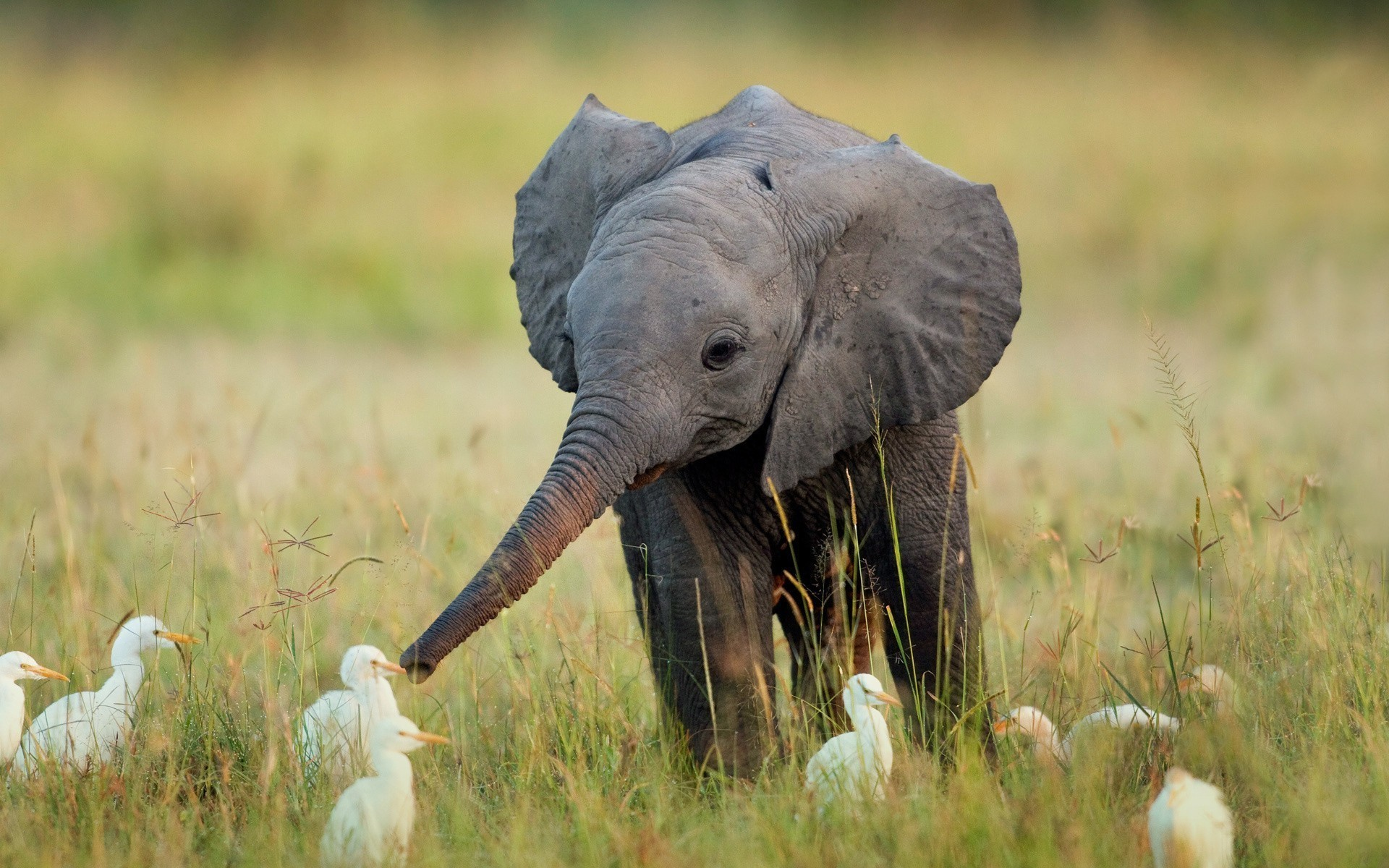 1920x1200 Africa animals baby elephant birds wallpaper