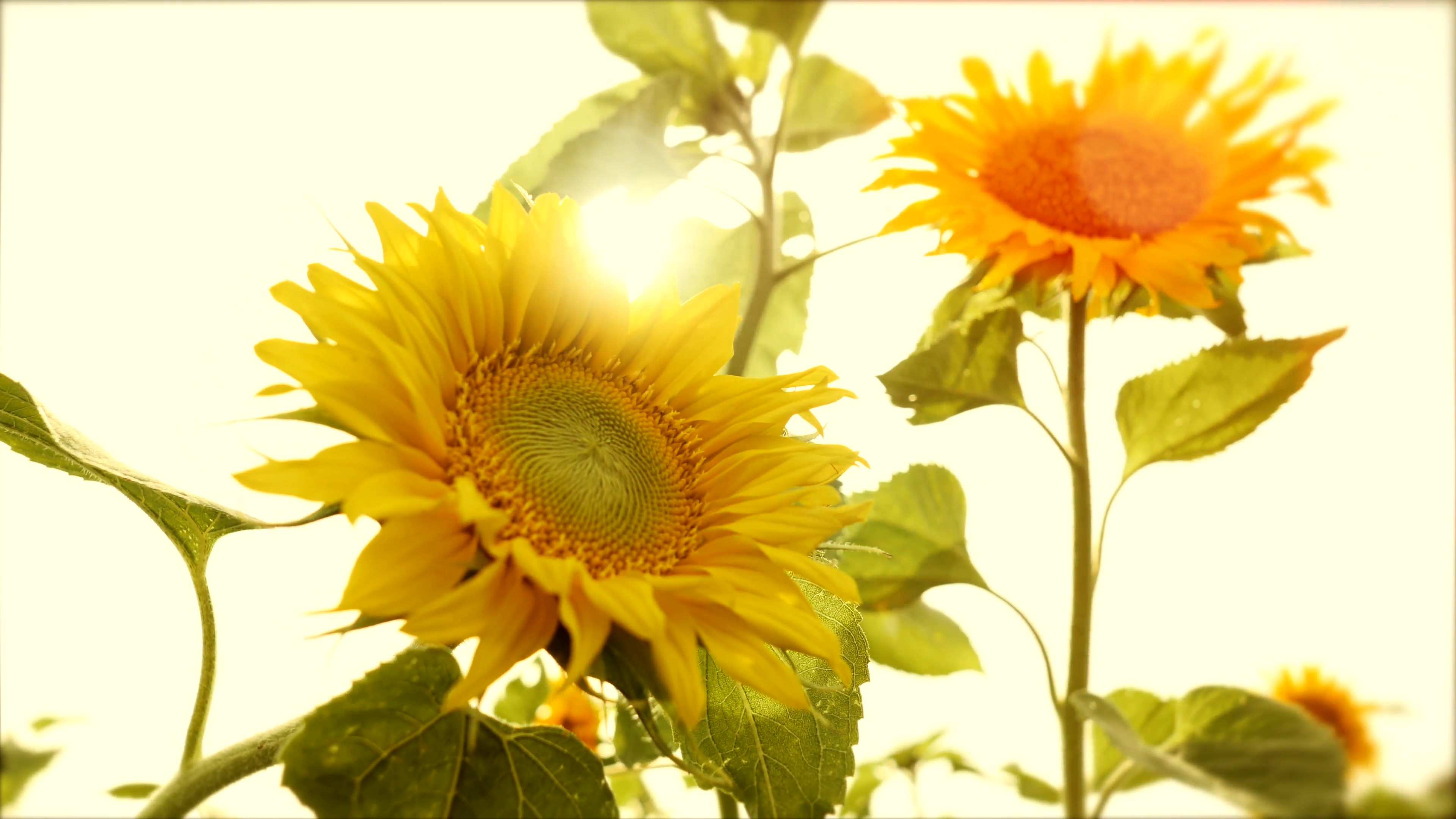 3840x2160 sun flowers - colorful flower background - nature plants - sun light Stock  Video Footage - VideoBlocks