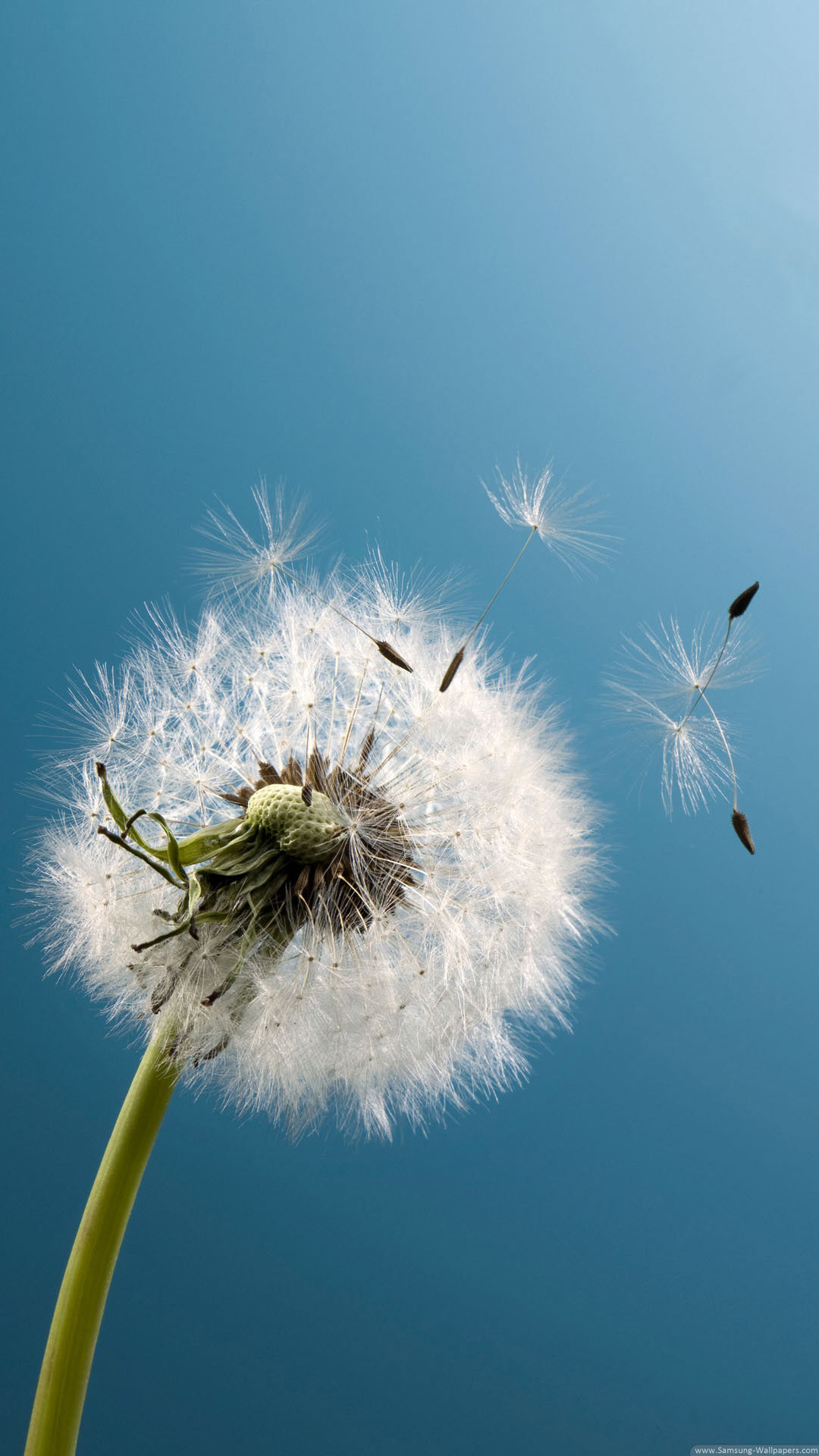 1080x1920 Dandelion Live Wallpaper APK for iPhone | Download Android APK