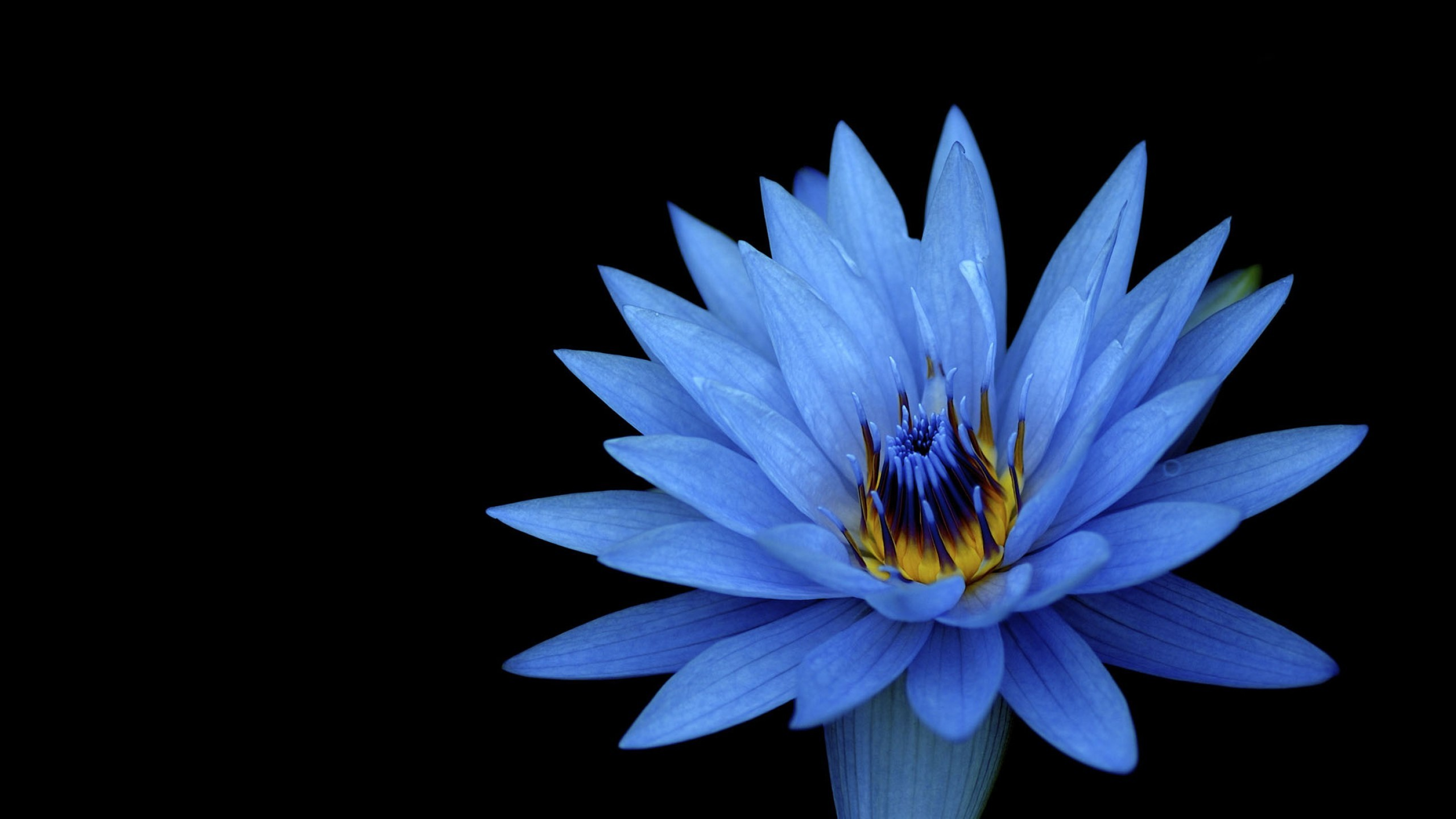 2560x1440 Tags: Dahlia flowers, Blue flowers, HD, Dark background