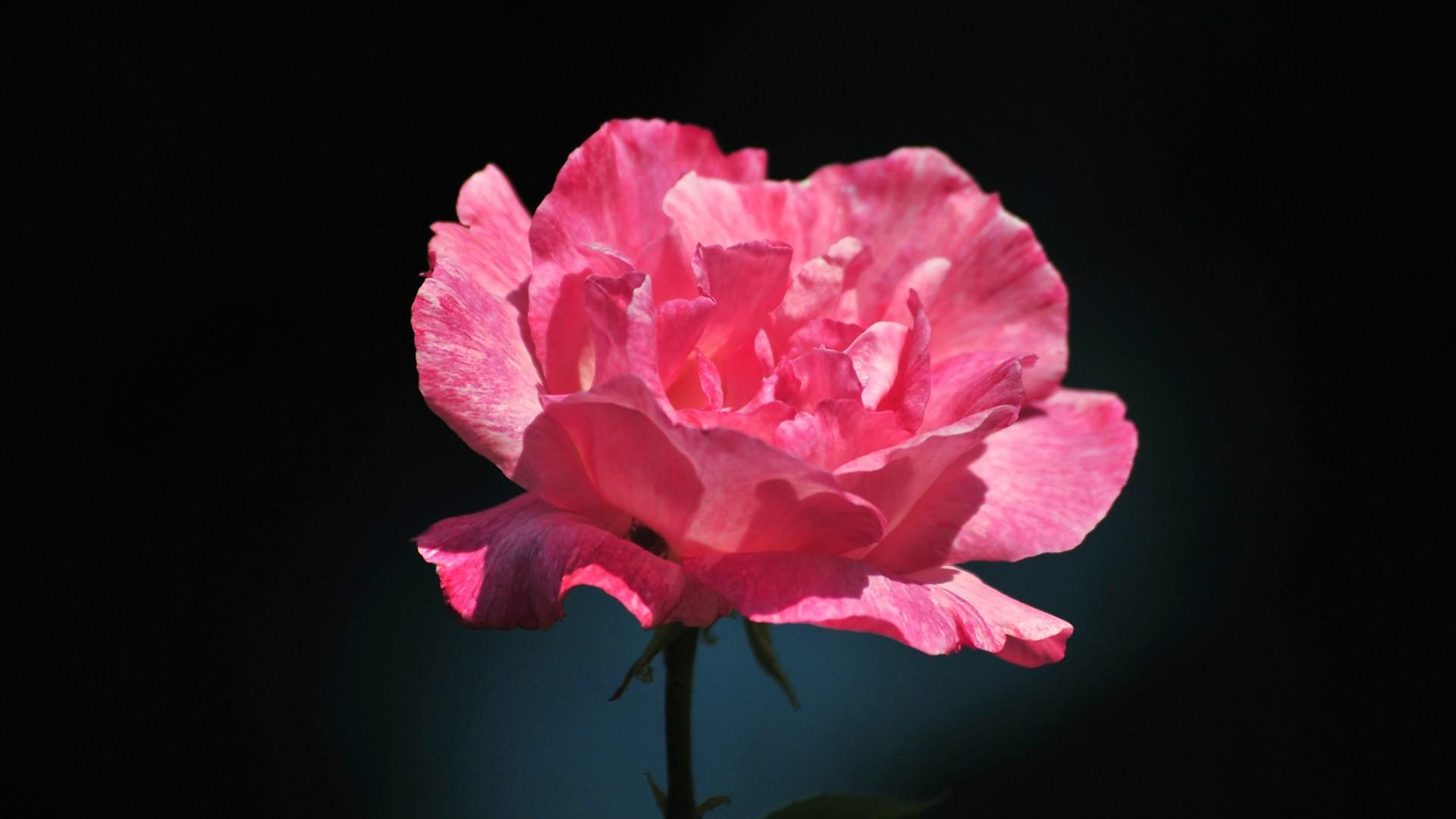 Pink rose flower wallpaper 52 images 1920x1080 beautiful pink rose flower hd wallpaper download 2135x1422 izmirmasajfo