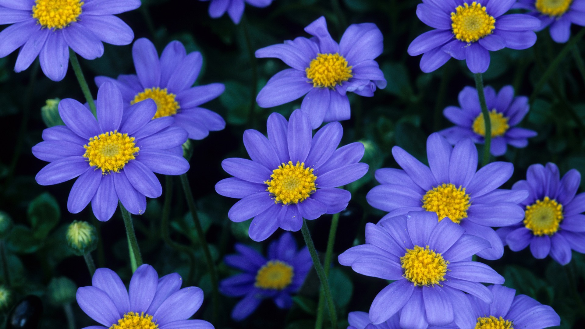 1920x1200 Blue Flowers Backgrounds AA