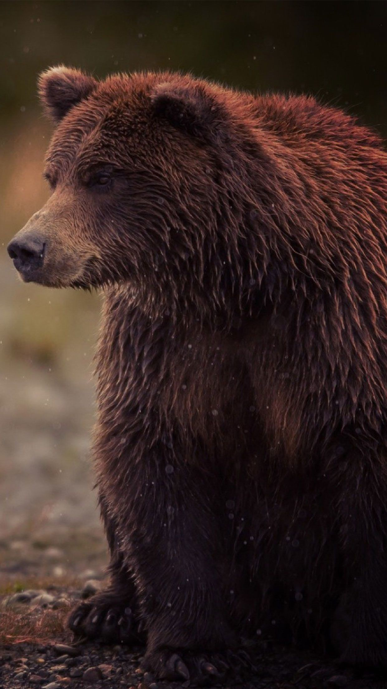 1242x2208 Brown Bear animal wallpaper #Iphone #android #bear #animal #wallpaper check  out more on wallzapp.com