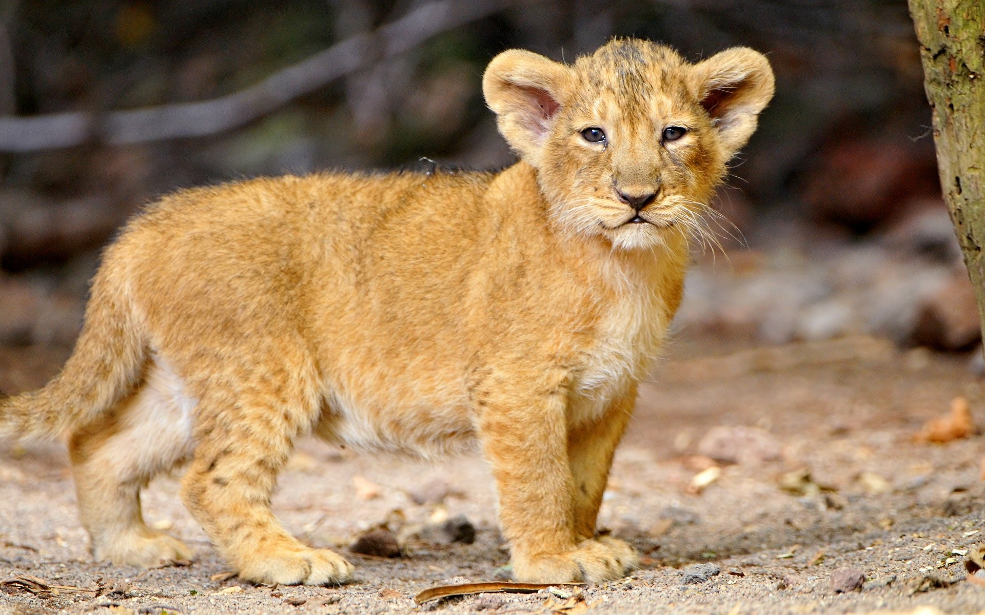 1920x1200 That's a cute little lion cub