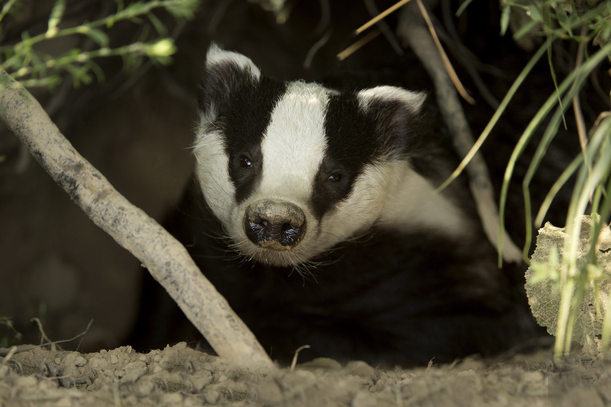2048x1363 Badger Backgrounds Badger Pictures