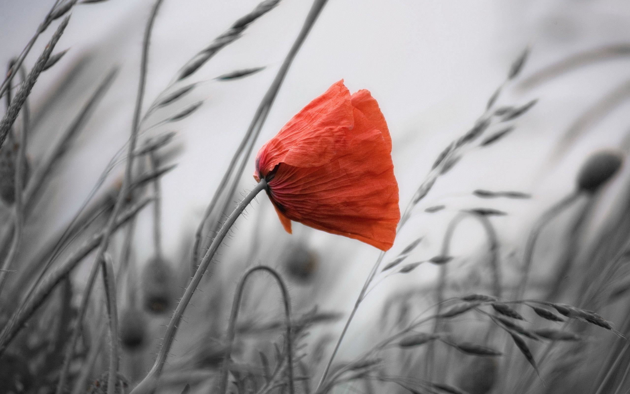 2560x1600 Poppy background Wallpapers | Pictures