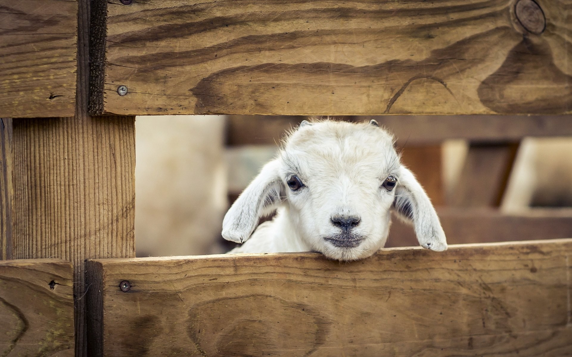 1920x1200 Other Pets sheep Animals lamb baby wallpaper |  | 348878 .