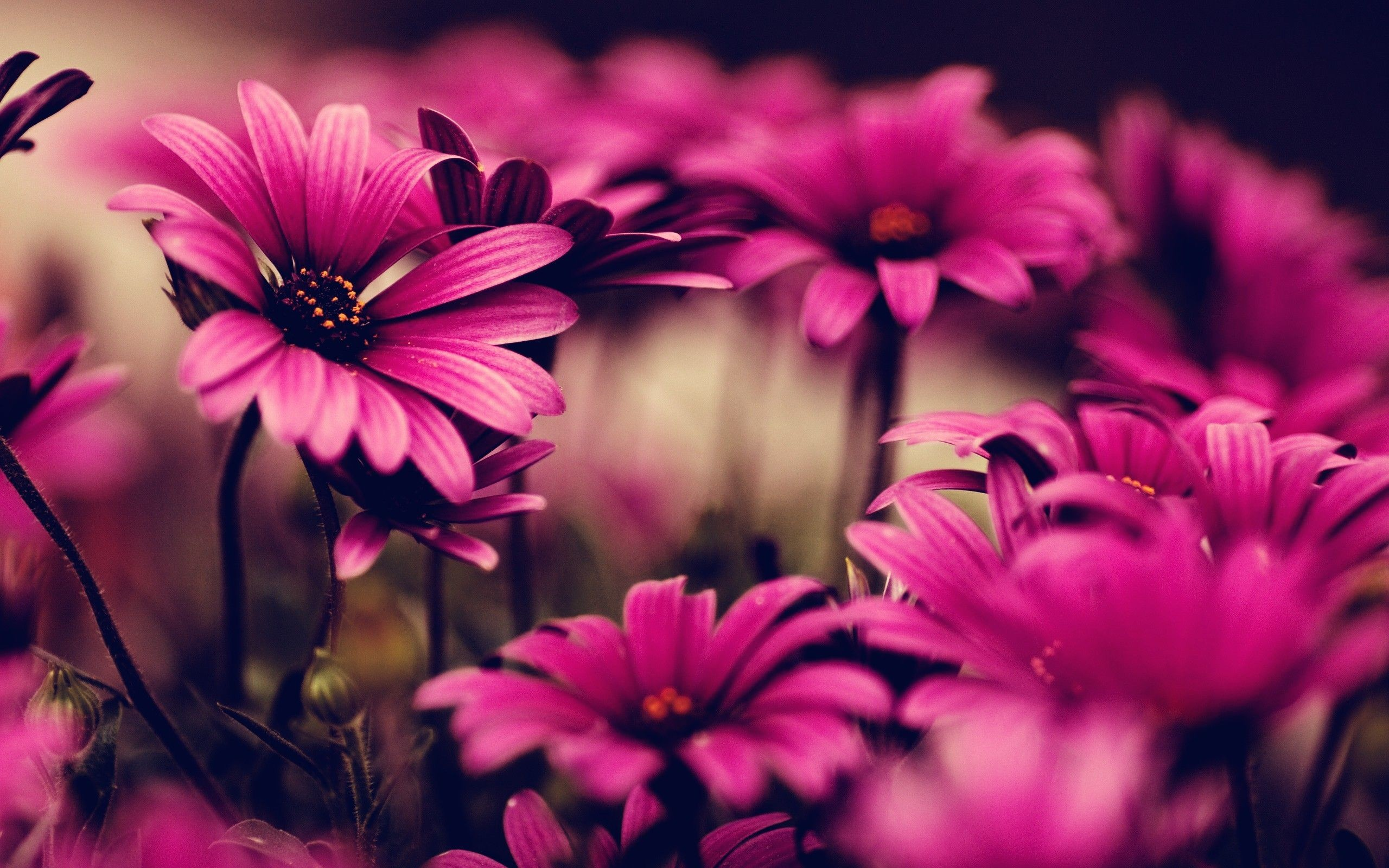 "2560x1600 Search Results for ""desktop wallpaper pink flowers"" – Adorable Wallpapers"