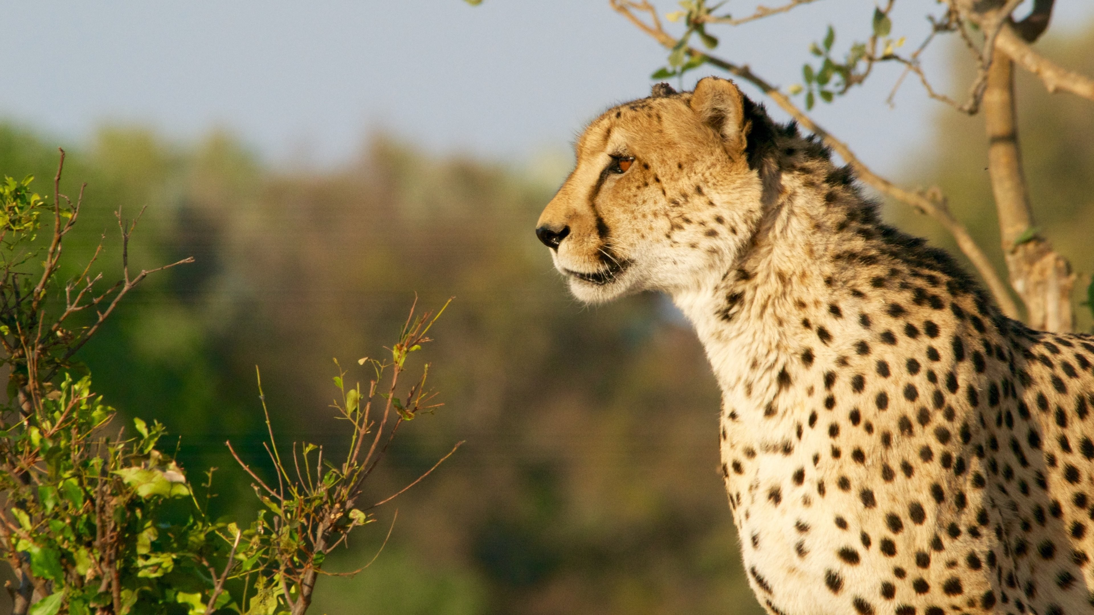 Beautiful Cheetah HD Wallpapers & Backgrounds - All HD